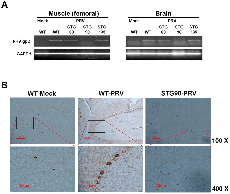 STG90 exhibits antiviral effects against PRV.