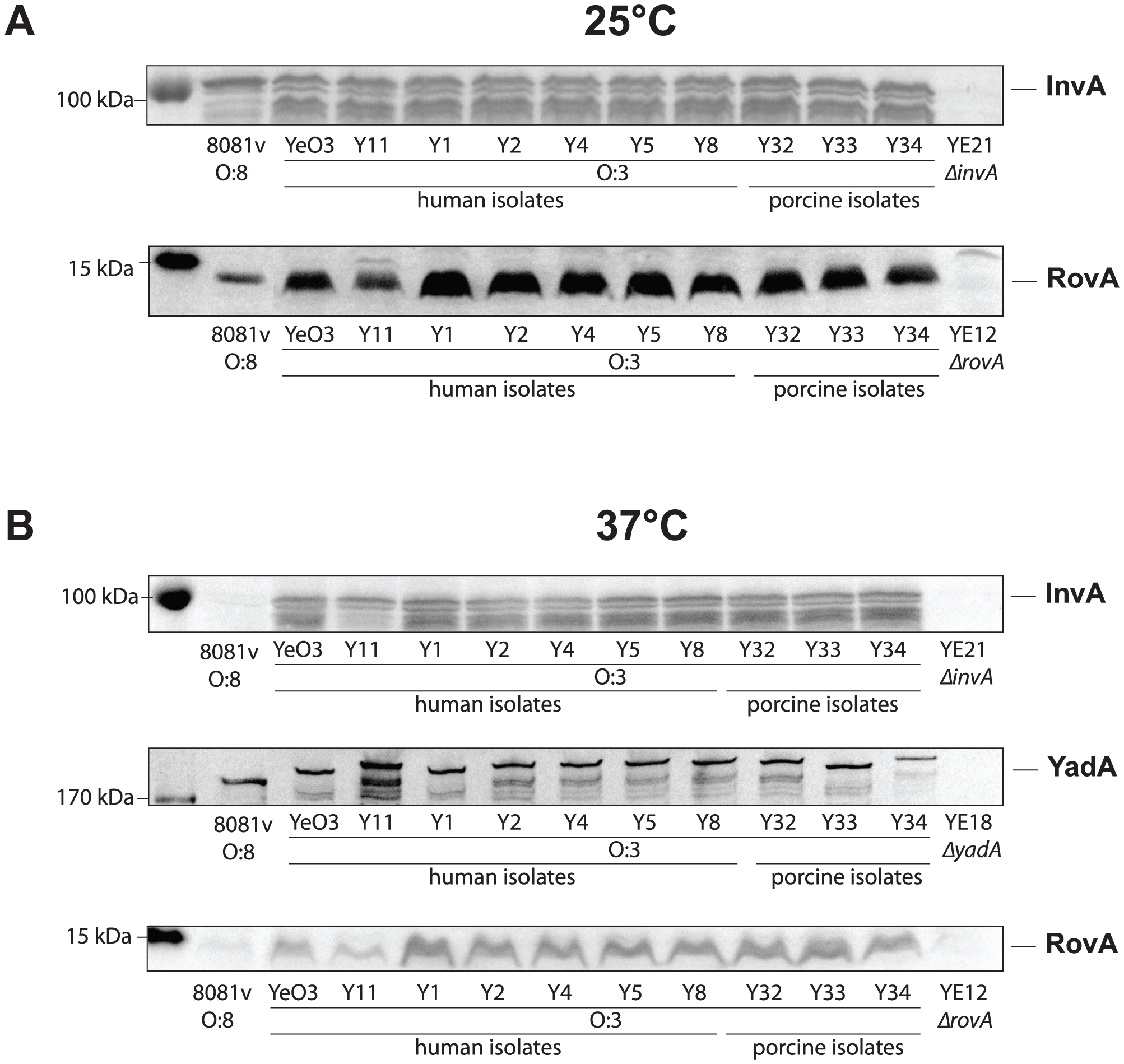 Expression analysis of <i>Y. enterocolitica</i> O:3 invasin, YadA, and RovA.