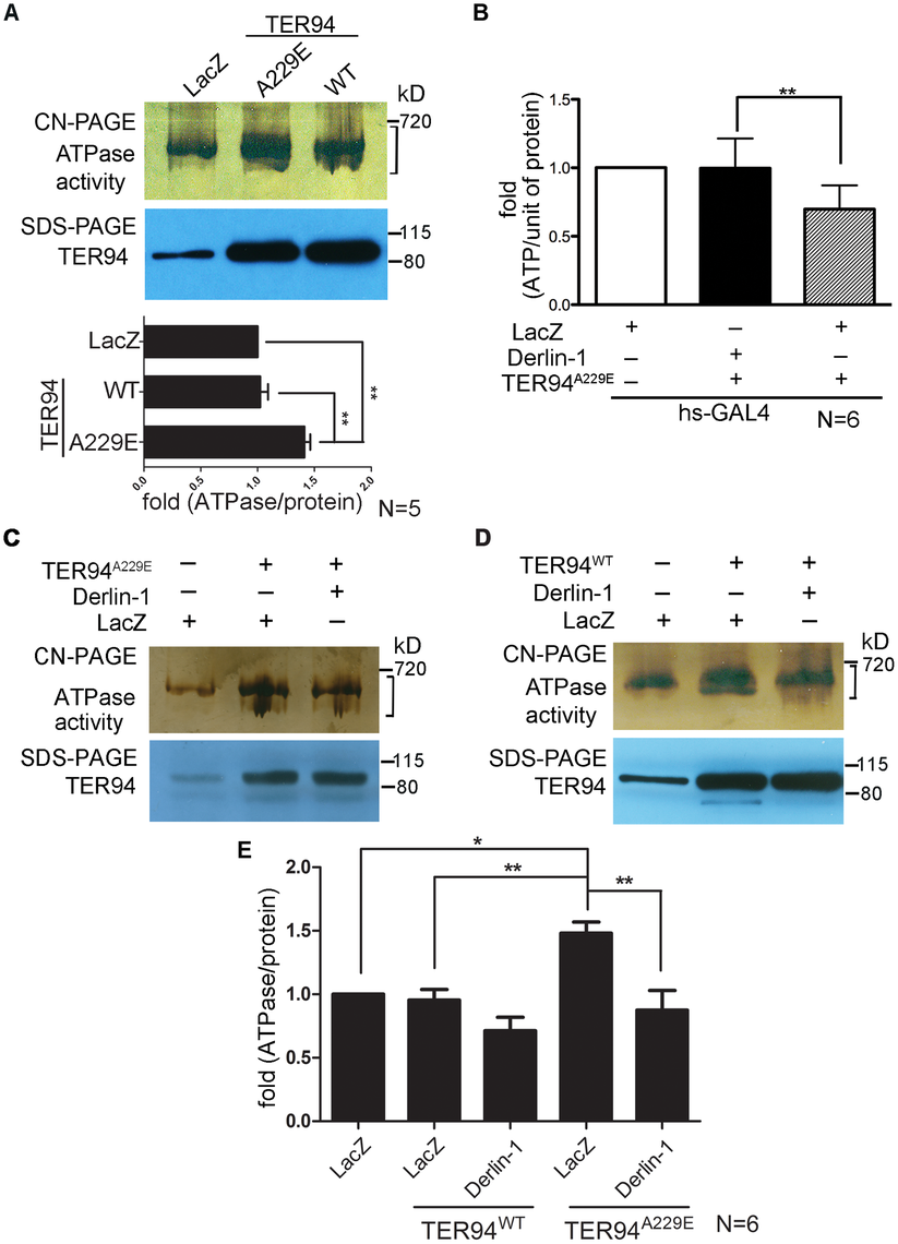 Overexpressing Derlin-1 suppresses the ATPase activity of pathogenic TER94 mutant.