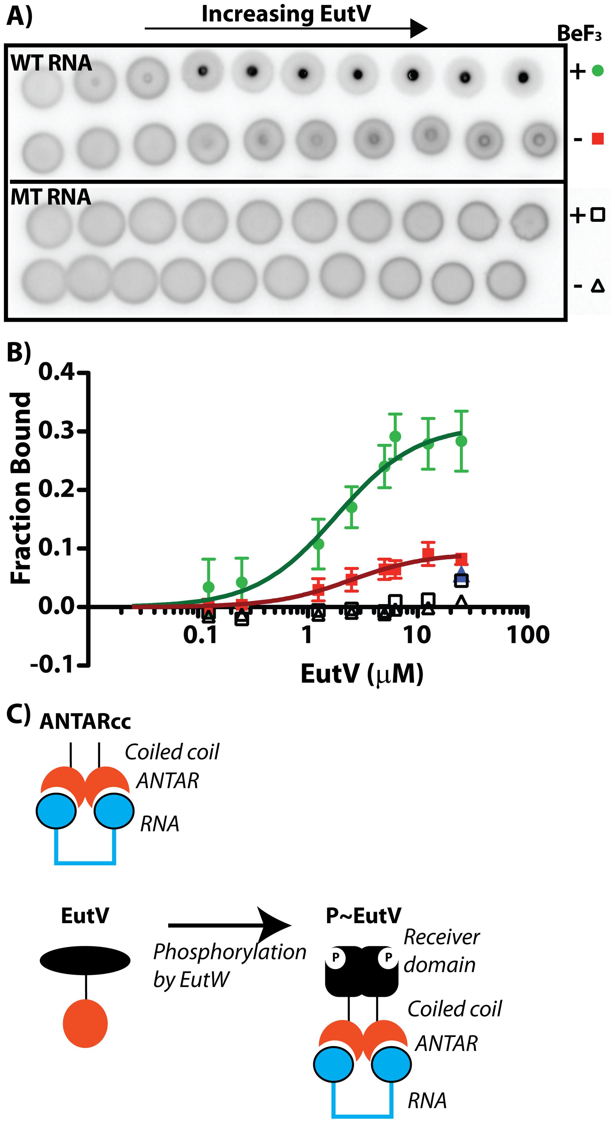 Phosphorylation of EutV correlates with improved RNA-binding affinity.