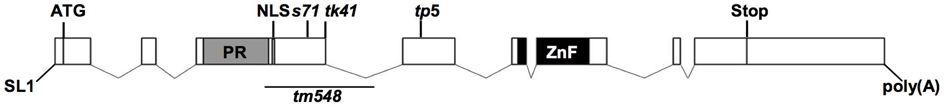 Gene structure of <i>blmp-1</i>.