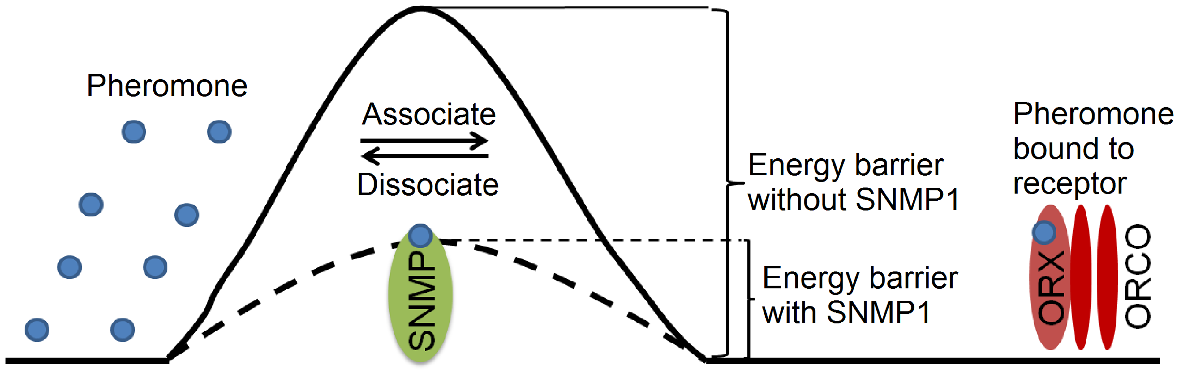 Proposed model for SNMP1 function in pheromone sensation.