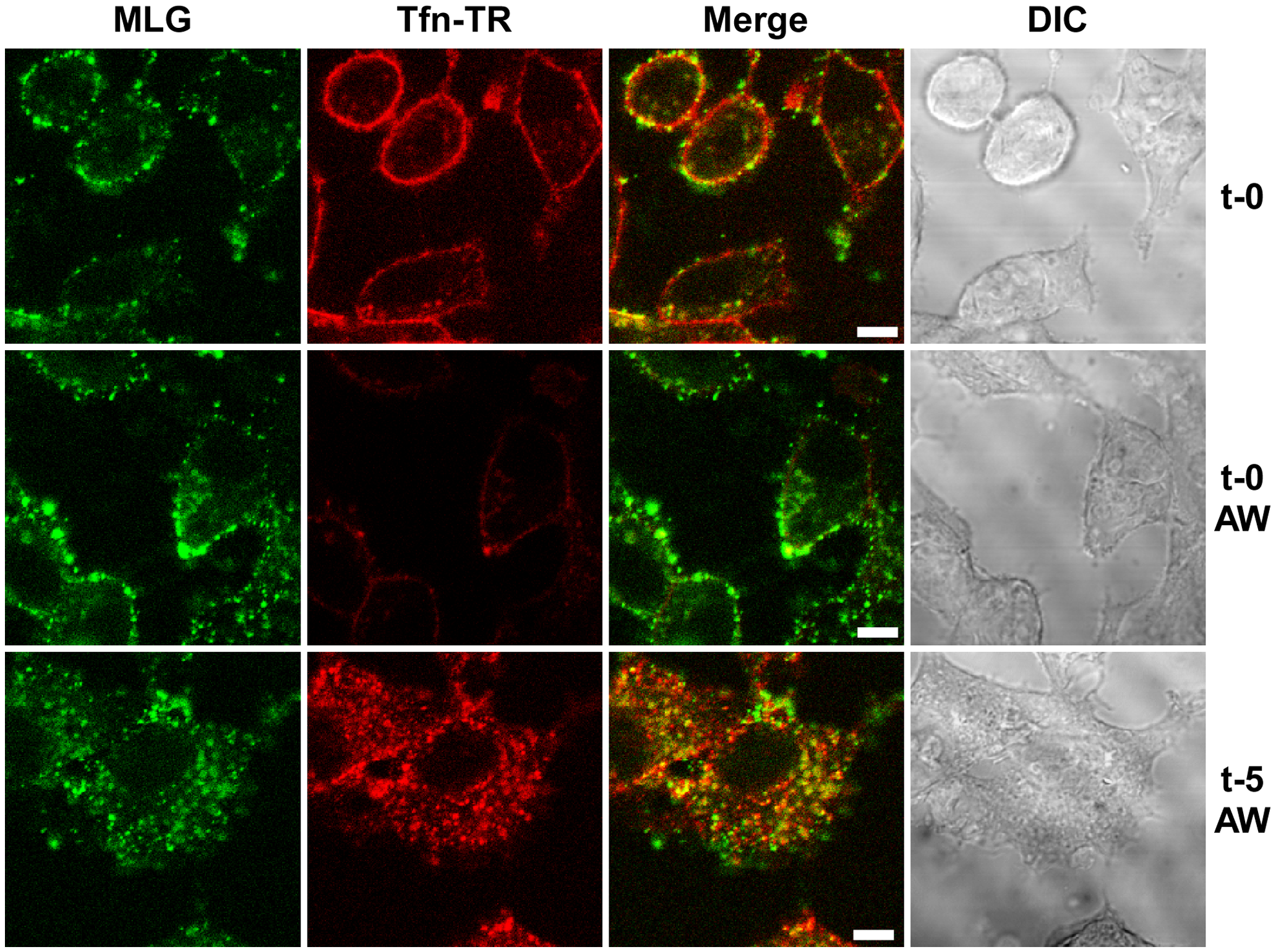 Endocytosis of surface bound Tfn-TR and rVSV-MLG.