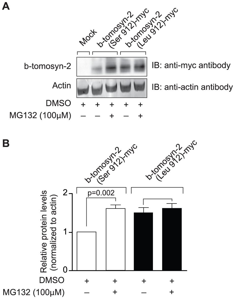 Effect of proteasomal inhibitor on B6 and BTBR allele of b-tomosyn-2.