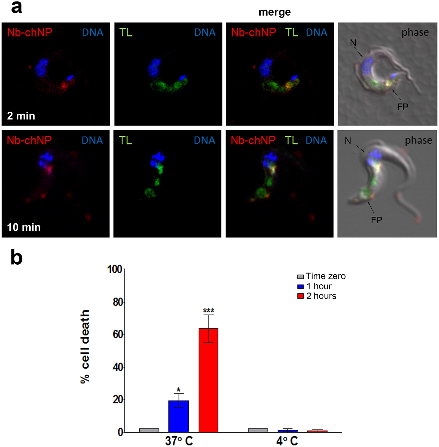 Endocytosis of NbAn33-chNPs.