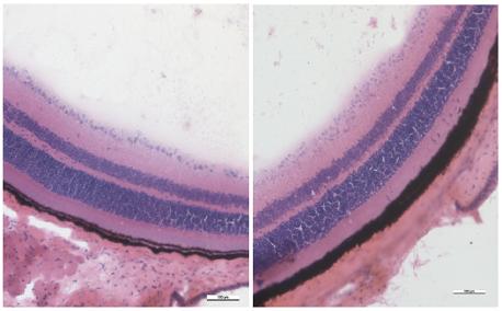 Obr. 13 a 14 Histologický řez sítnicí zdravé myši s pravidelně uspořádanými vrstvami, zvětšení 20x