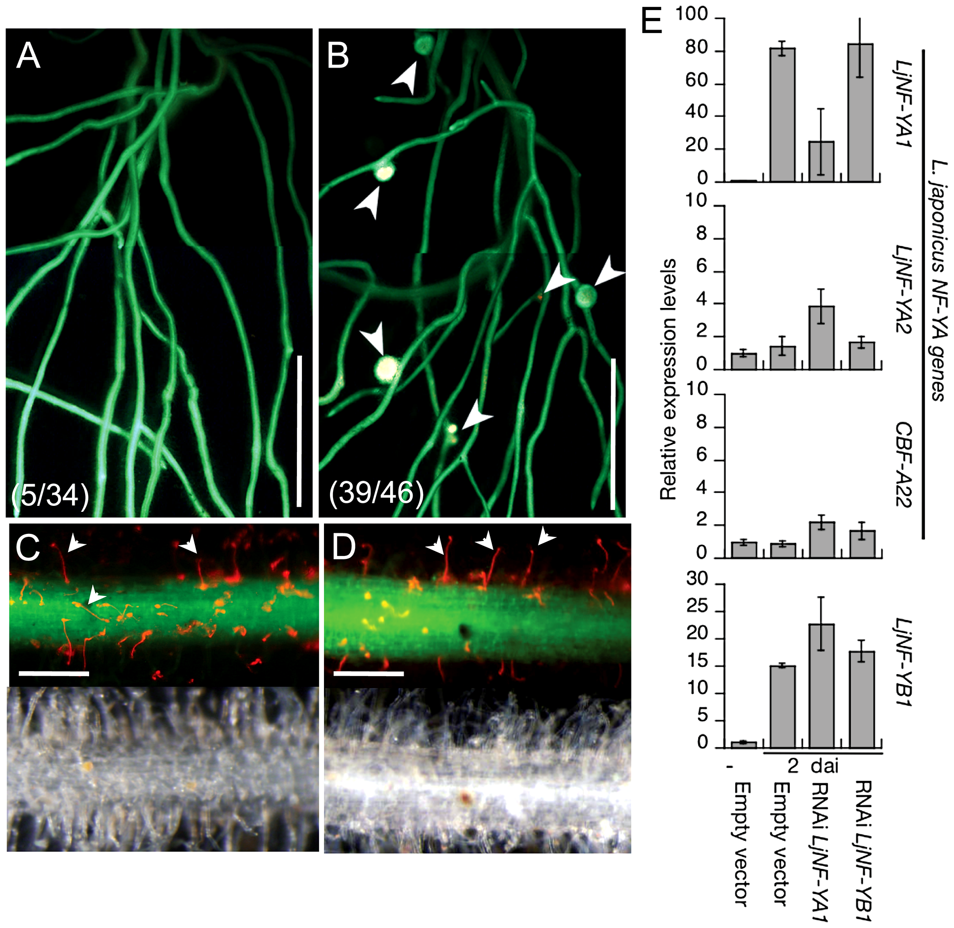 Inhibition of root nodule development by the knockdown of <i>LjNF-YA1</i>.