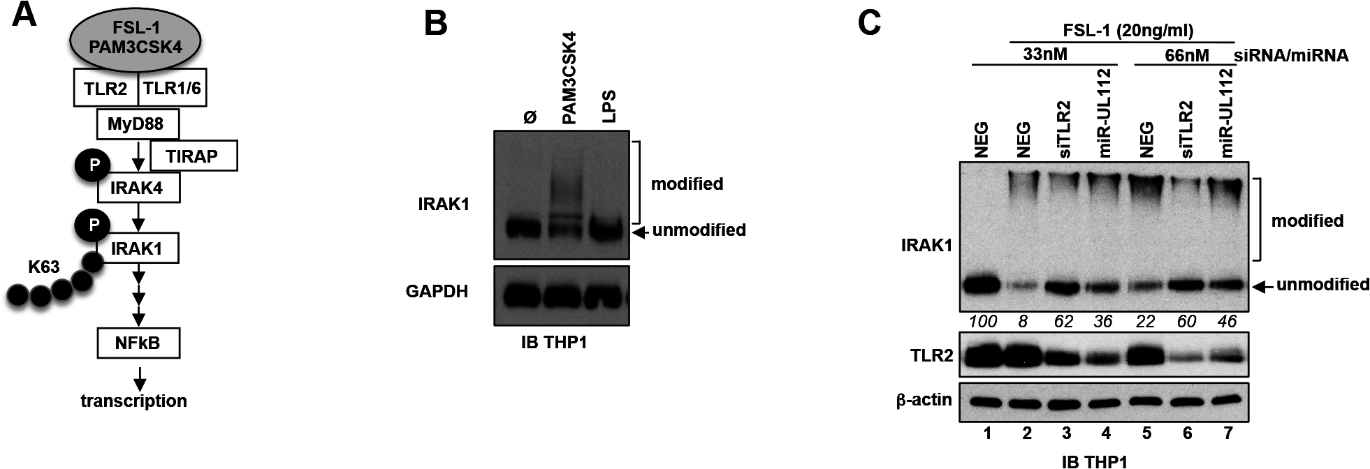 miR-UL112-3p inhibits TLR2-dependent activation of IRAK1.
