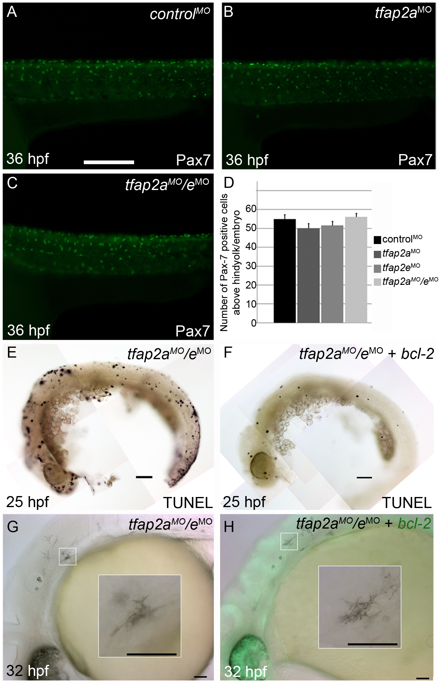 Contribution of cell fate specification and cell death to melanophore defects in <i>tfap2a/e</i> doubly-deficient embryos.