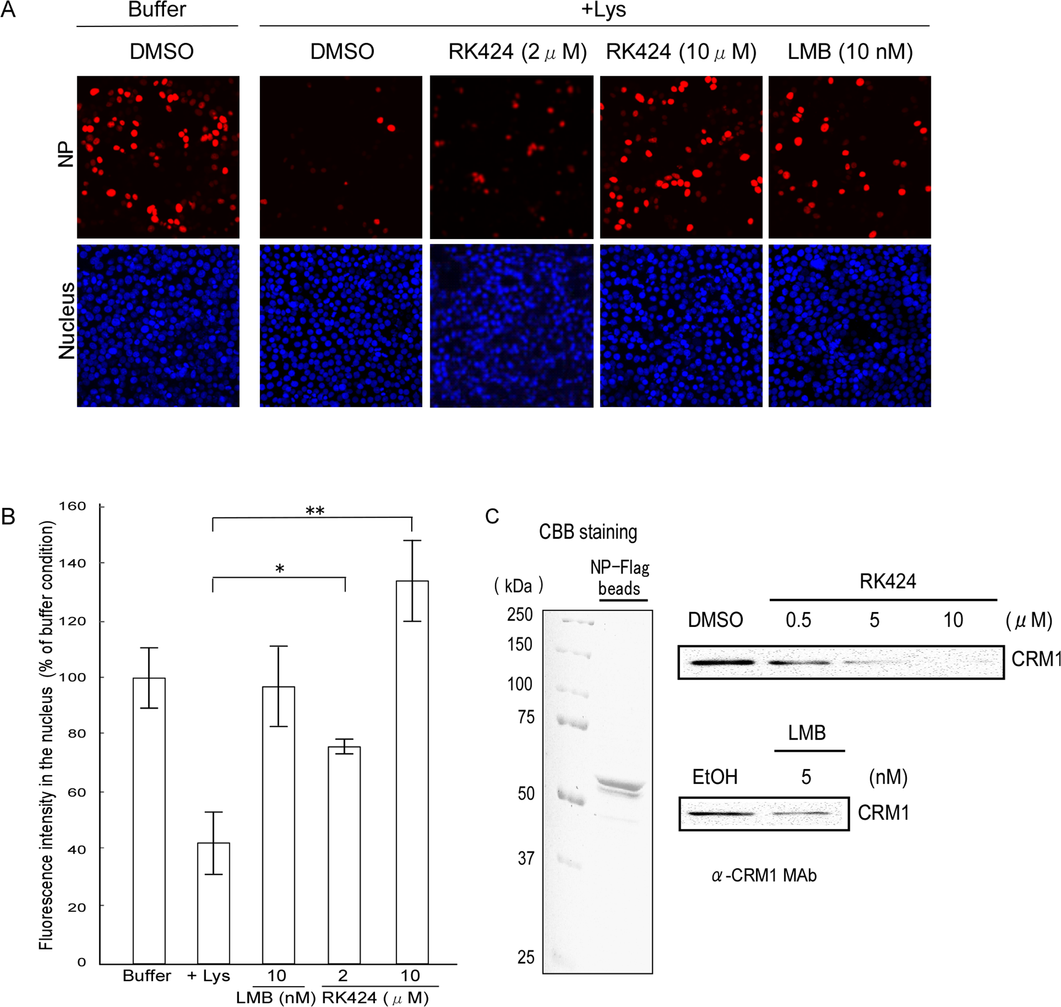 Effect of RK424 on nuclear export of NP and the binding of NP to CRM1.