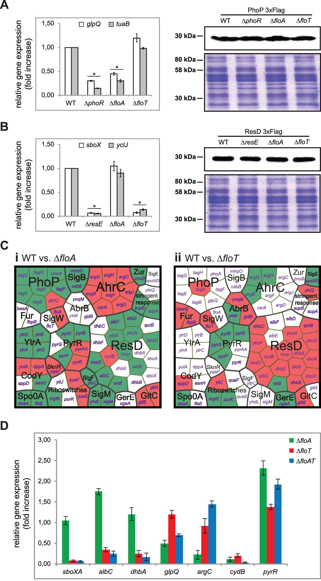 Flotillins influence kinase-dependent activation of PhoP and ResD regulators.