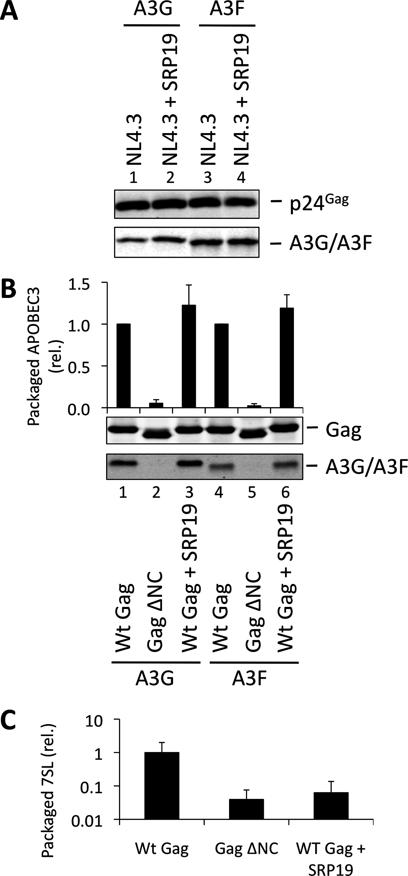 VLPs with reduced 7SL RNA content package A3G and A3F. (A)