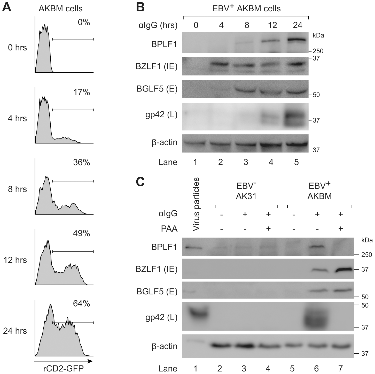 BPLF1 is expressed during the late phase of lytic EBV infection and is incorporated into viral particles.