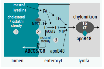 Schéma 1. Metabolizmus fytosterolů – inkoroporace do micel (1), absorpce (2) a intracelulární esterifikace (3).