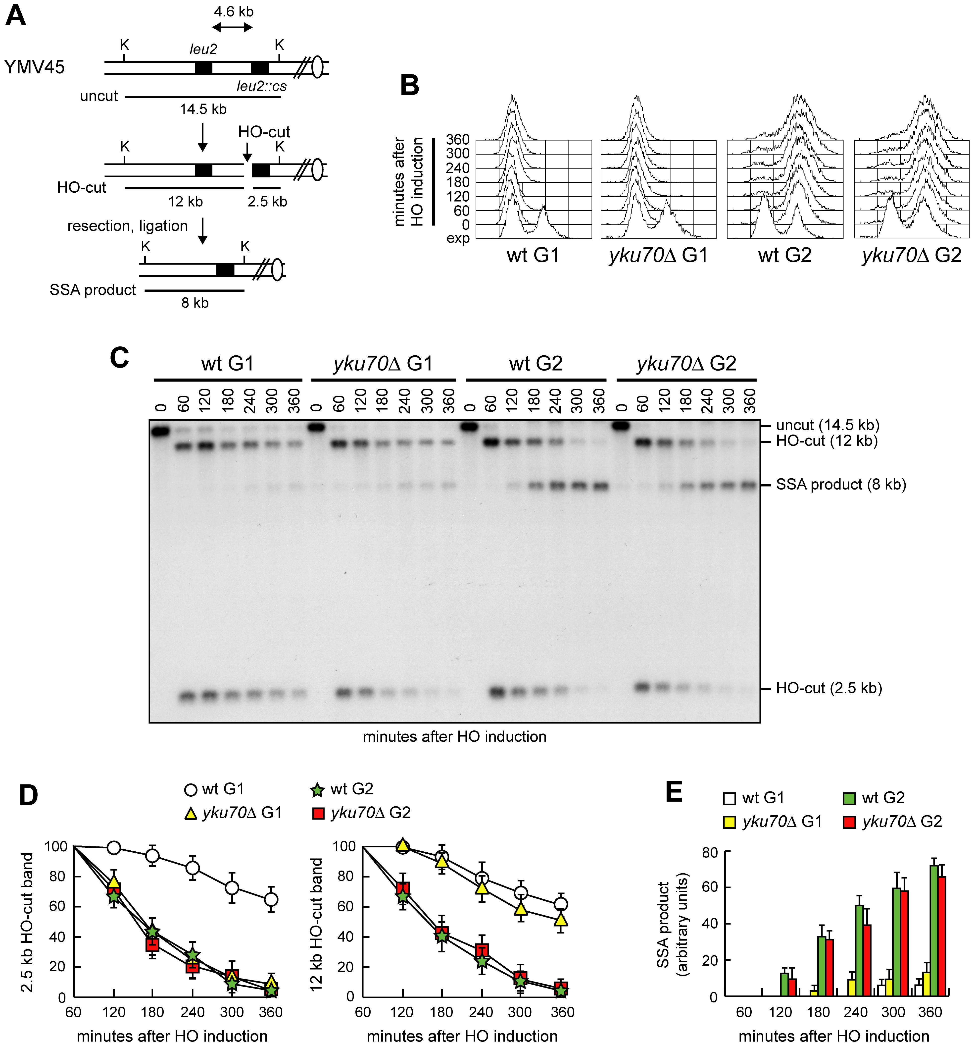 SSA-mediated DSB repair in <i>yku70Δ</i> G1 and G2 cells.