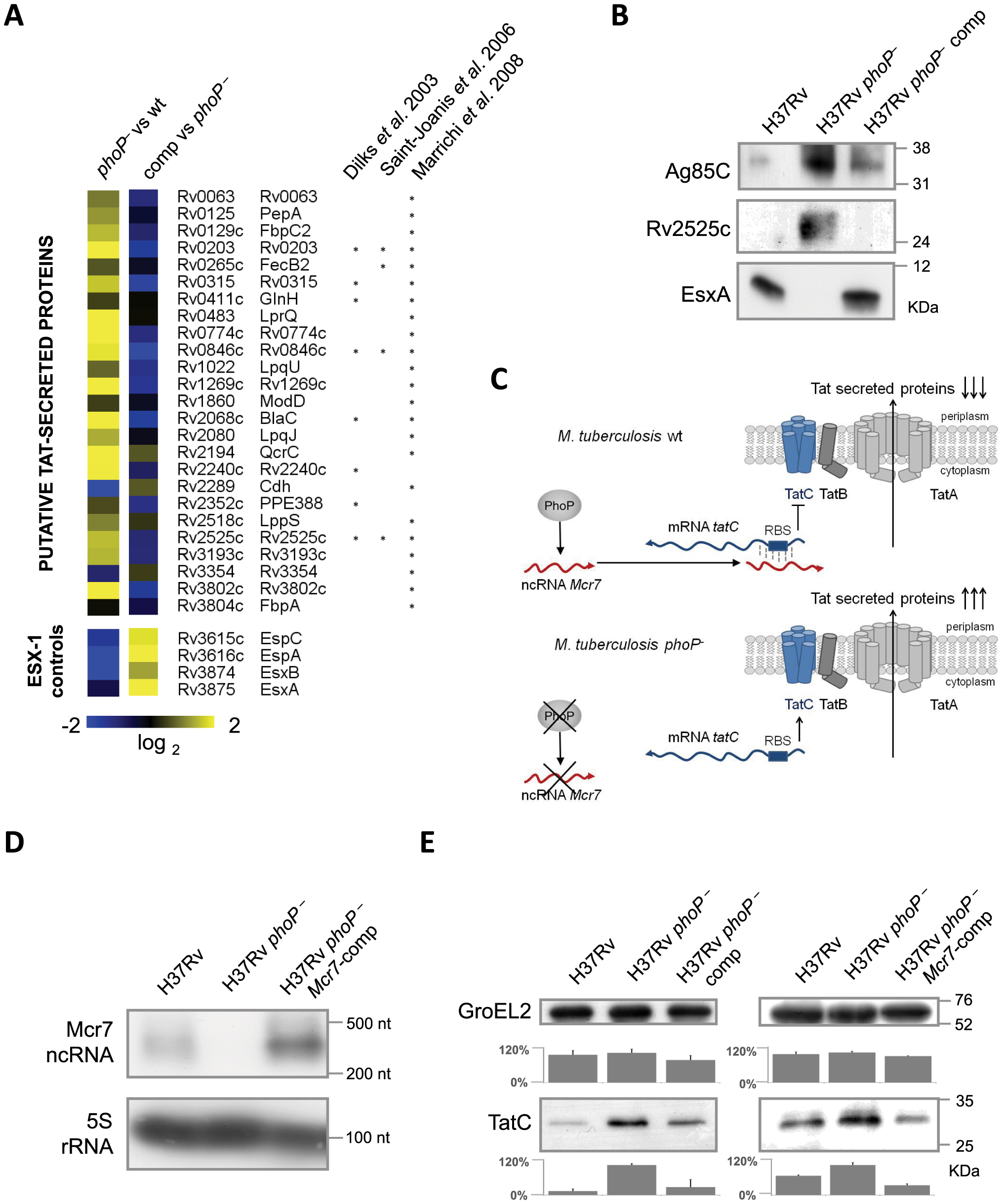 Analysis of the <i>M. tuberculosis</i> secretome identifies a high proportion of Tat substrates enriched in the <i>M. tuberculosis phoP</i> mutant.
