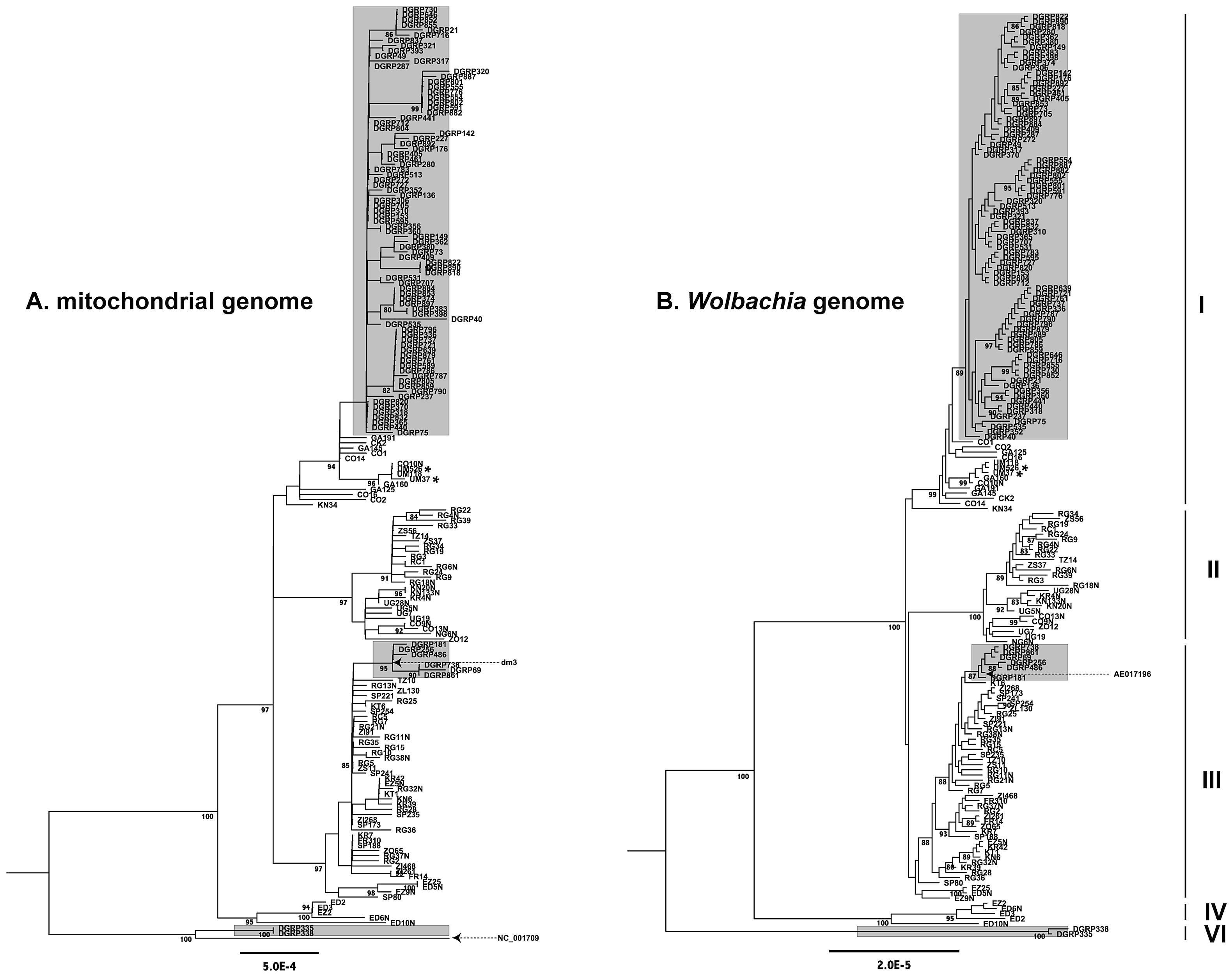 Maximum likelihood genealogies.