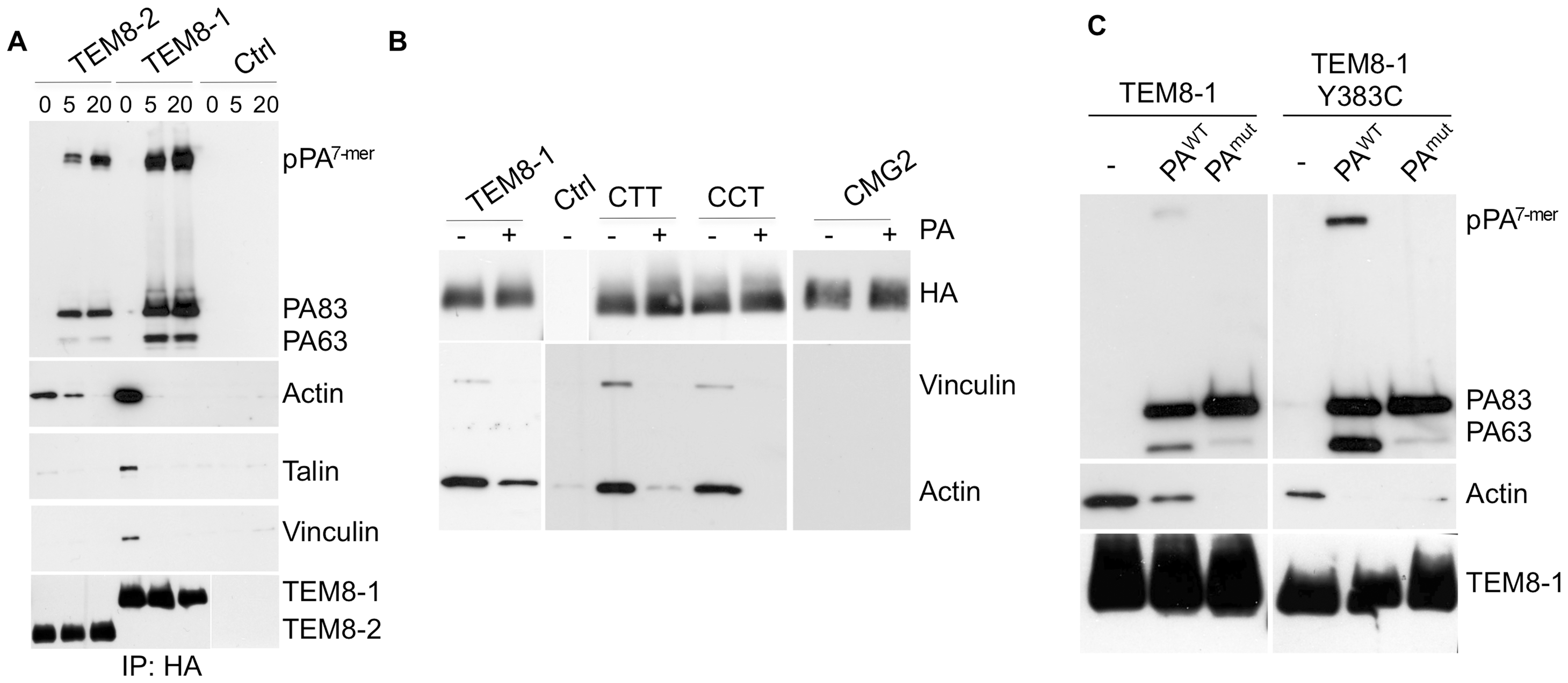 Binding of PA leads to the release of the actin-interacting complex form the cytosolic tail of TEM8.