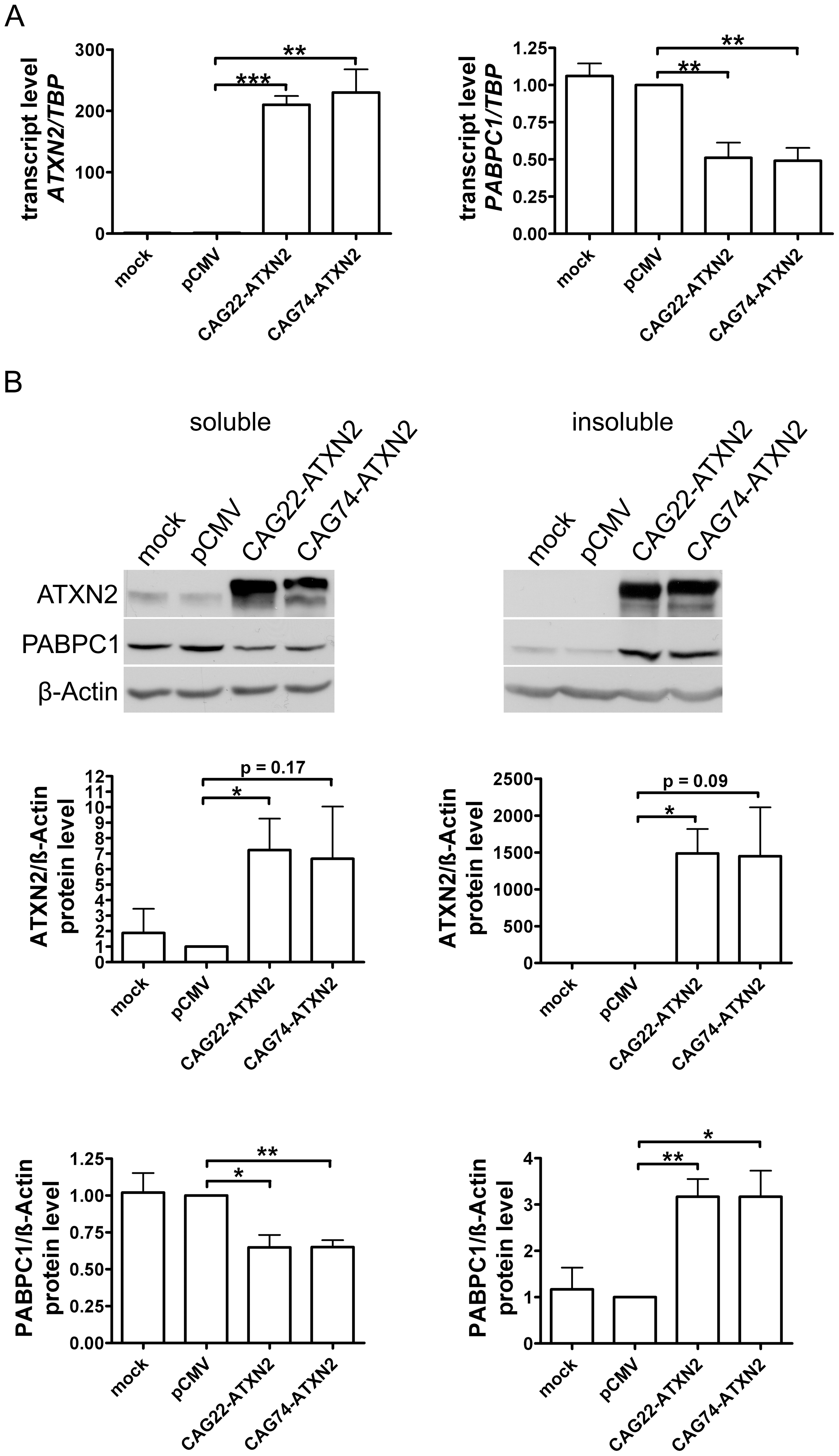 Normal and expanded insoluble ATXN2 drives PABPC1 into insolubility.