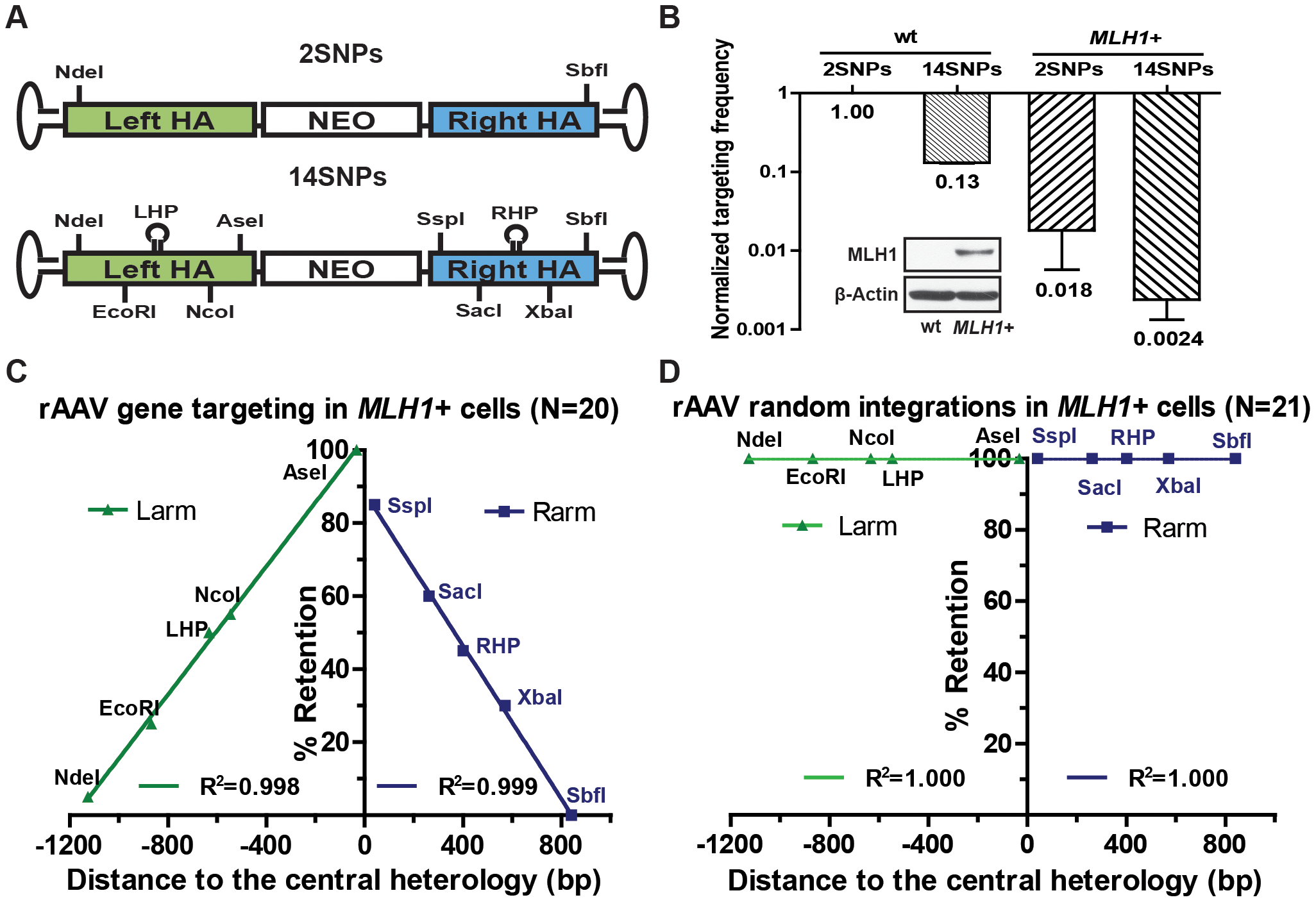 rAAV gene targeting is suppressed in a mismatch repair-proficient background.