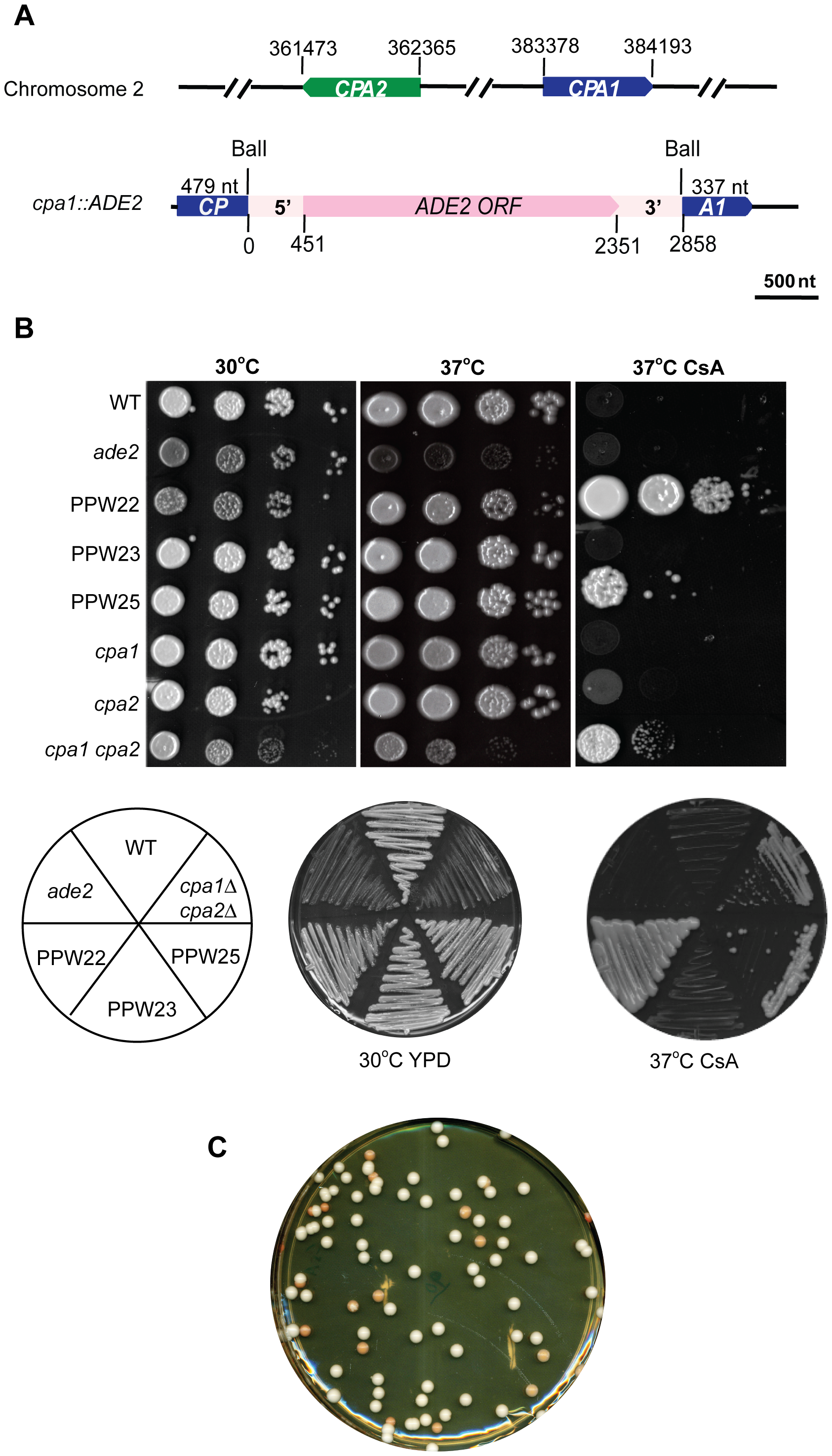 Transgene silencing results in CsA resistance and ade−, red colonies.
