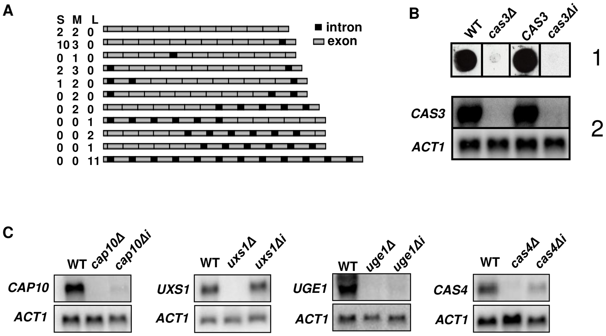 Influence of introns on gene expression.