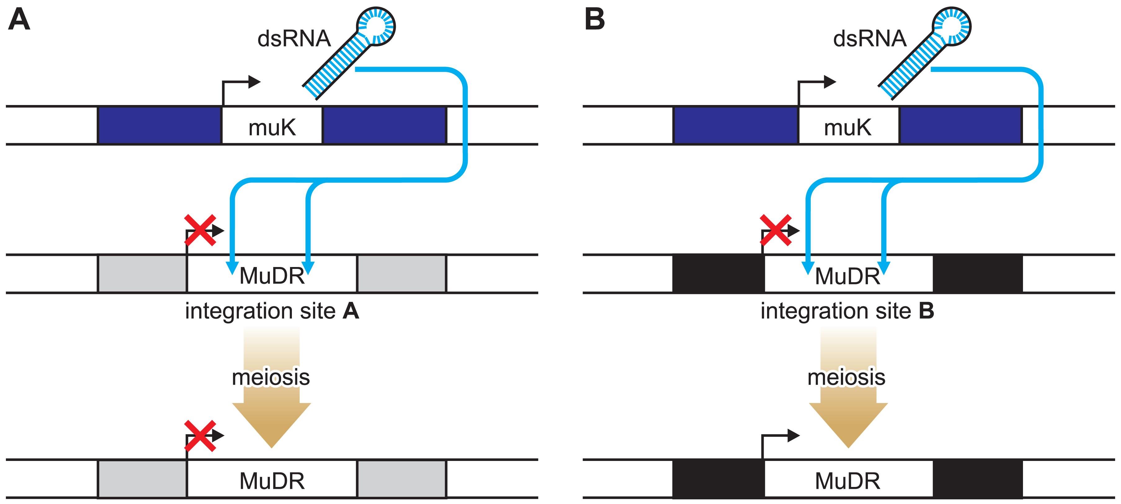 Locus-Specific Reactivation of the MuDR Transposon.