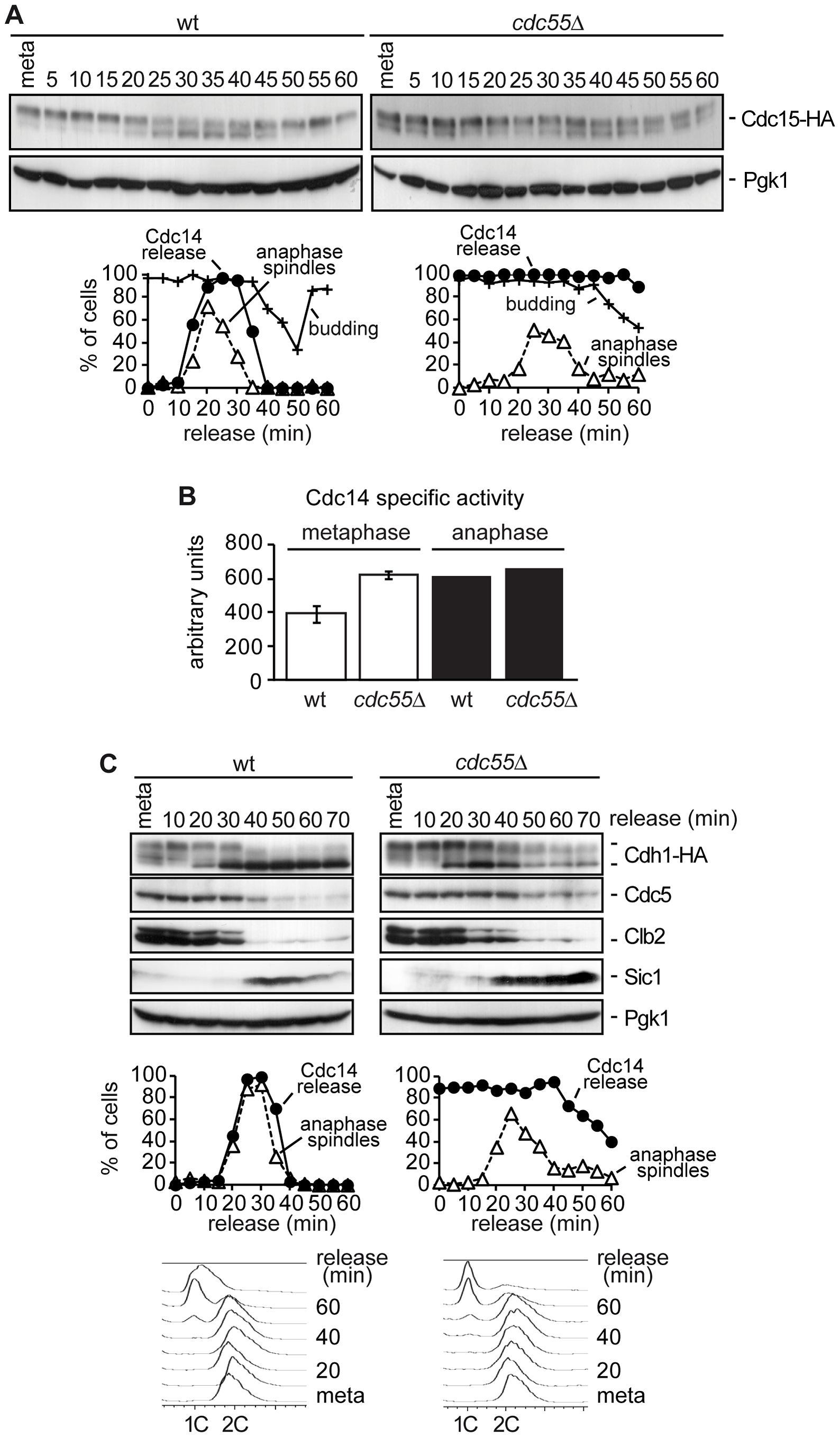Premature Bfa1 inactivation does not provoke premature exit from mitosis.