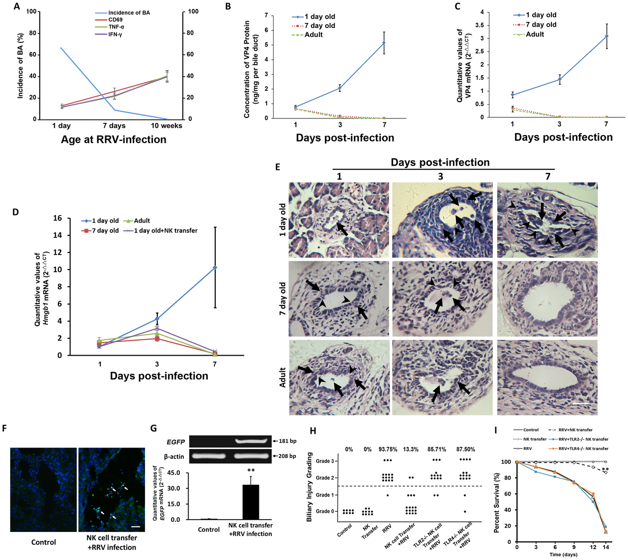 Adoptive transfer of mature NK cells decreases the incidence of BA and improves survival, and the level of VP4 in cholangiocytes and the incidence of BA are decreased as the age of mice increases.