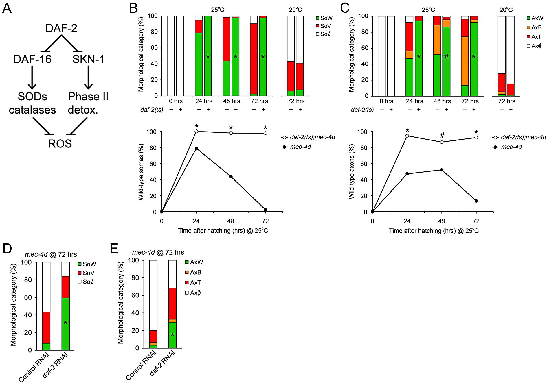 Downregulation of Insulin/IGF-1-like signaling (IIS) prevents neuronal degeneration triggered by <i>mec-4d</i>.