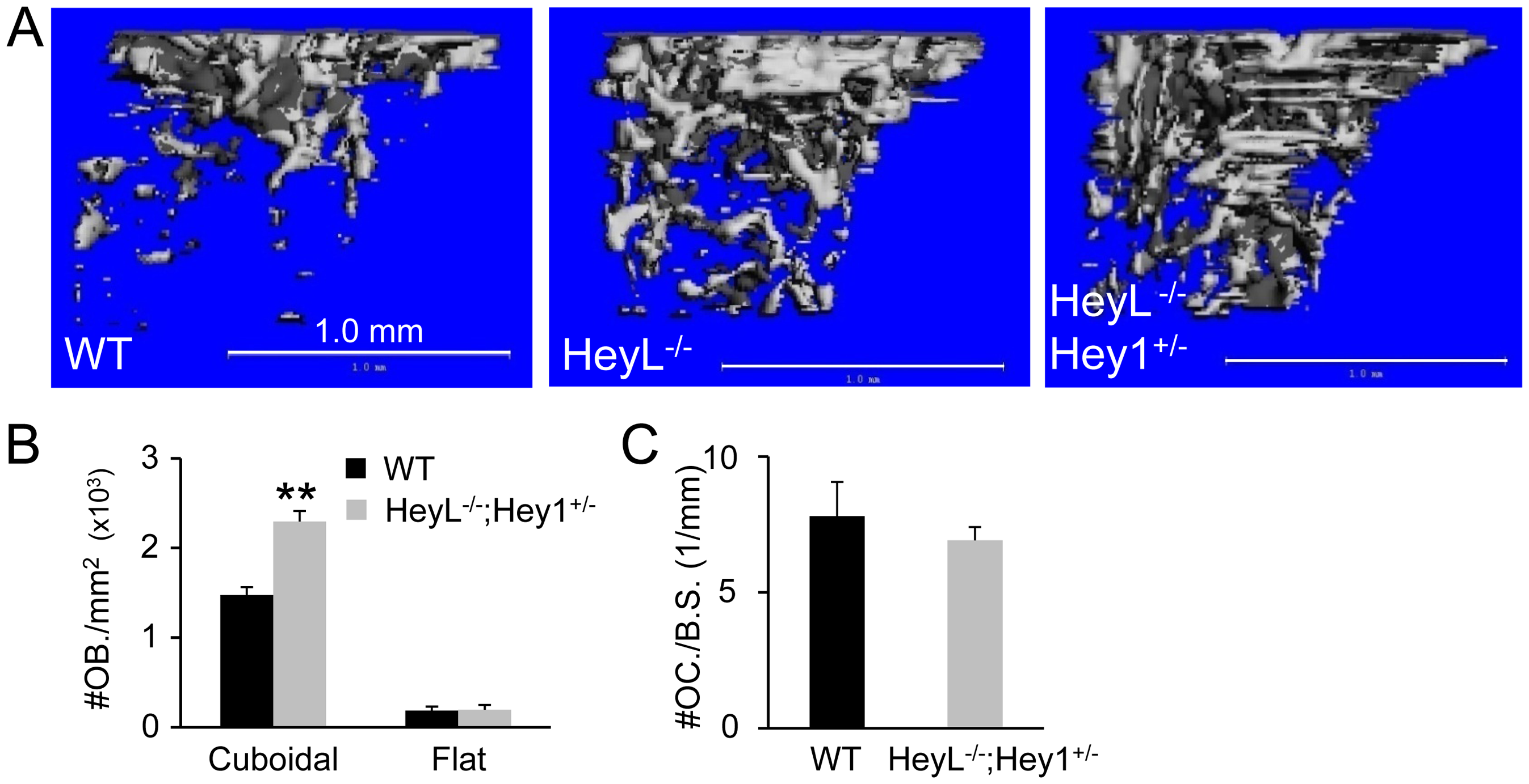 Bone phenotypes of Hey1 and HeyL mutant mice at 8 weeks of age.