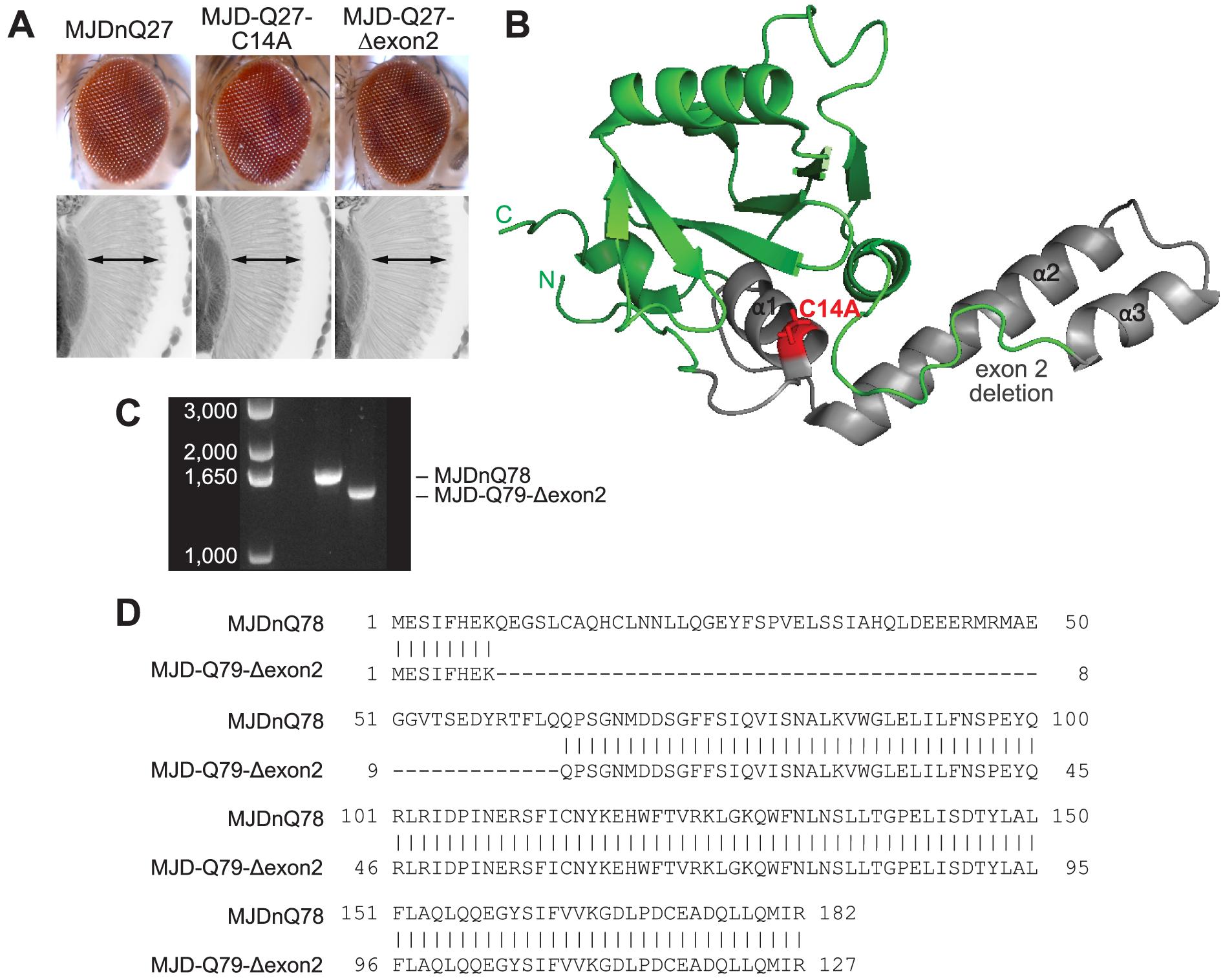 Characterization of DUB-deficient MJD variants.