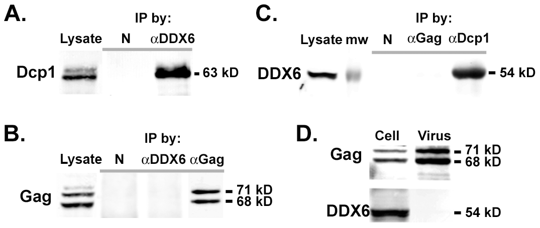 Co-immunoprecipitation of DDX6 with Dcp1 but not with Gag.