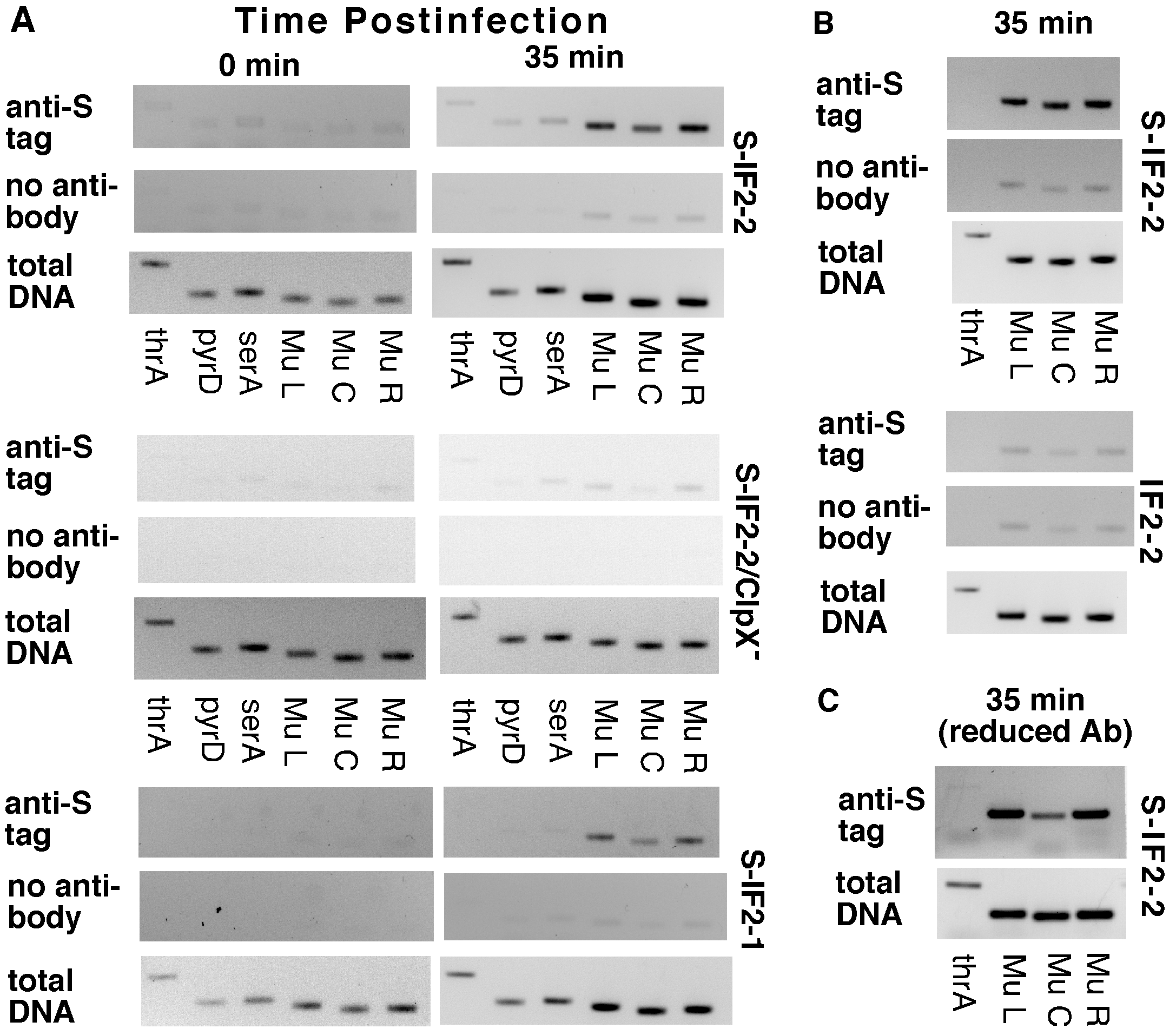 Binding of S-IF2 to Mu ends upon induction of phage replication by transposition.