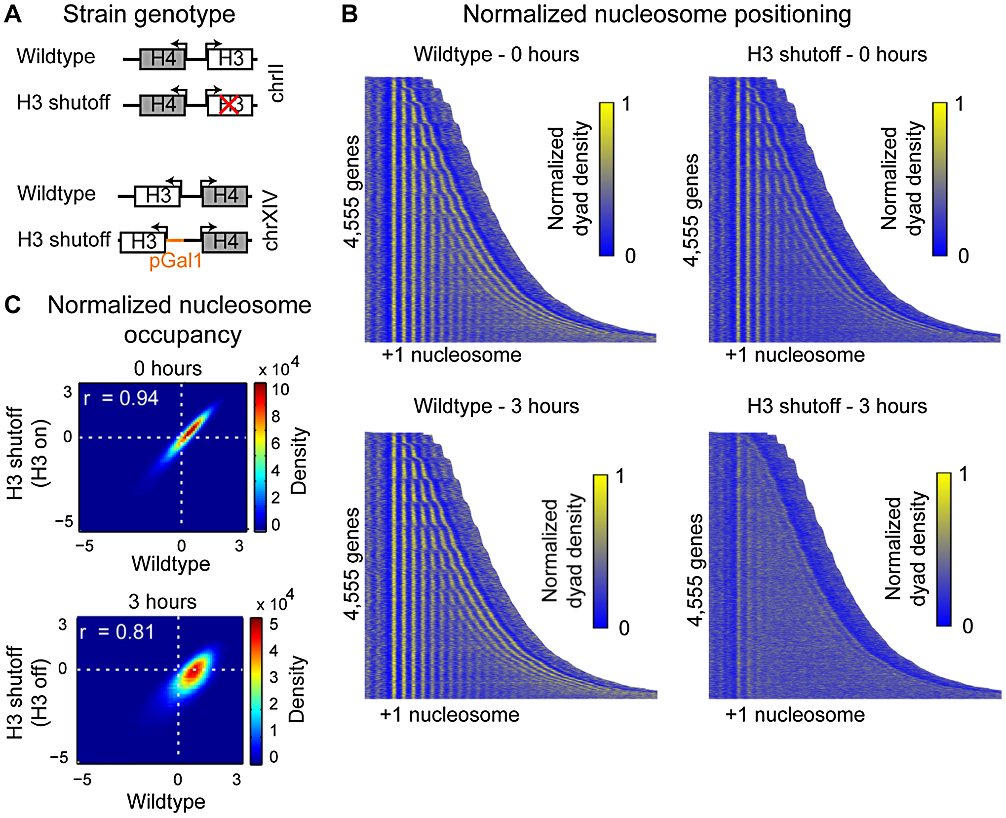 Histone H3 depletion alters nucleosome occupancy genome-wide.
