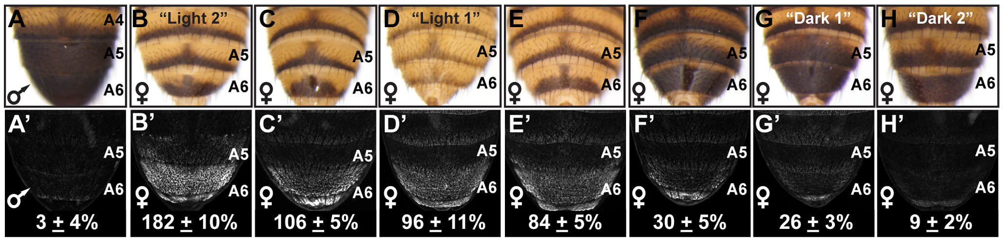 Abdomen pigmentation correlates with the regulatory activity of dimorphic element alleles.
