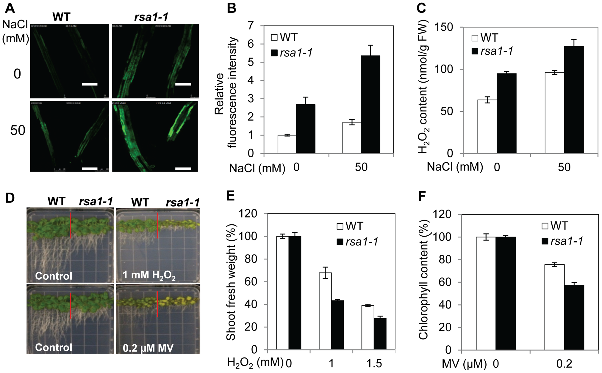 <i>rsa1-1</i> mutant plants accumulate more ROS and are hypersensitive to oxidative stress.