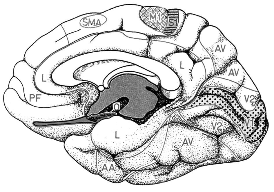 Topografie elokventních oblasti na mediální ploše hemisféry mozku (SMA – suplementární motorická oblast, M1 – primární motorický kortex nohy) Fig. l. Topography of eloquent brain regions located on the medial surface of cerebral hemisphere (SMA – supplementary motor area, M1 – primary leg motor cortex)
