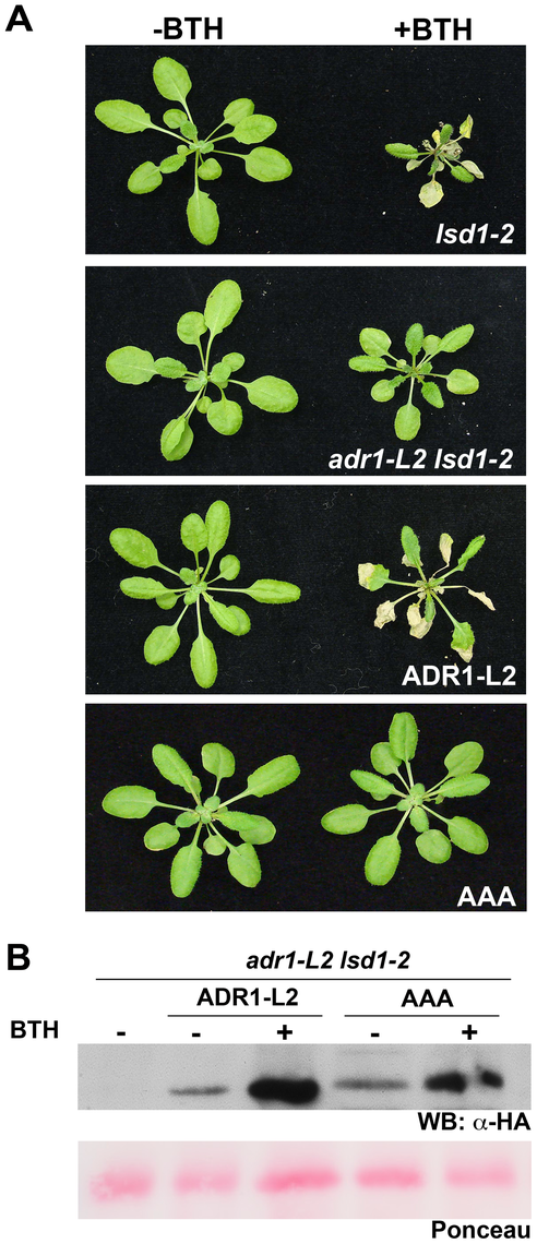 The requirement for ADR1-L2 in <i>lsd1</i> rcd is P-loop dependent.