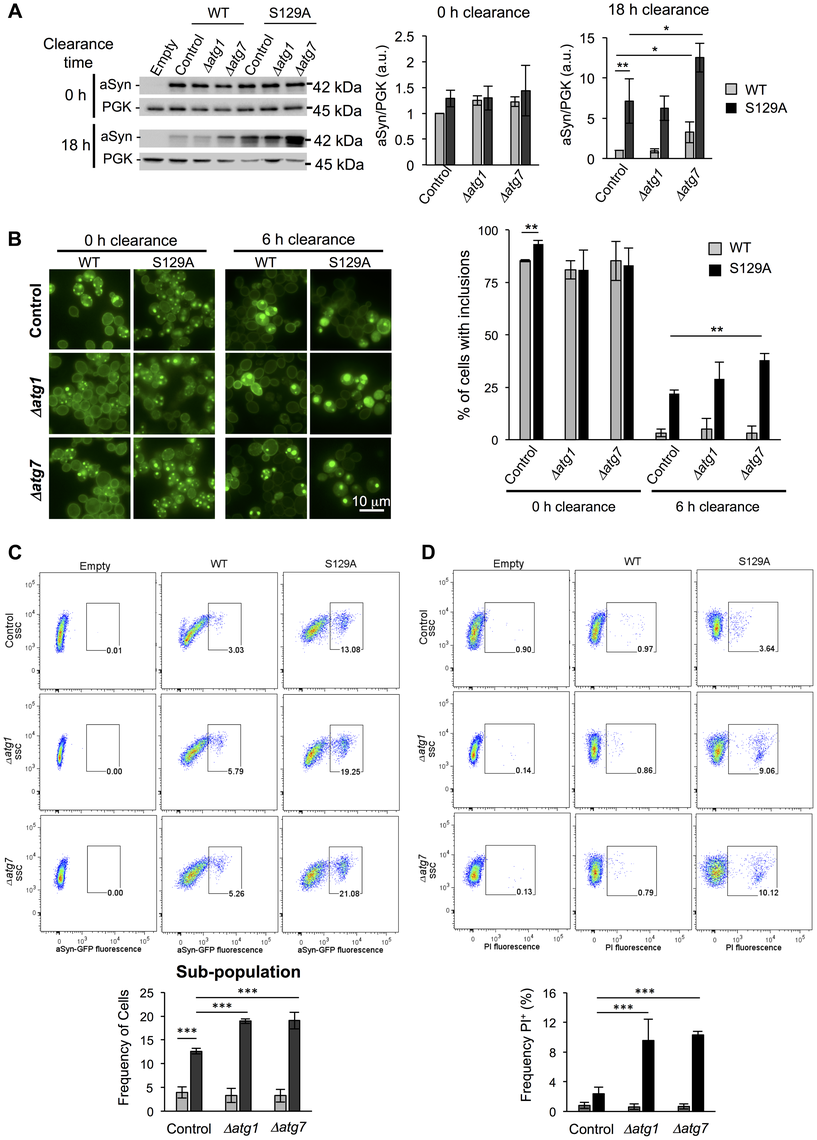 Impairment of autophagy decreases S129A aSyn-GFP clearance and increases toxicity.