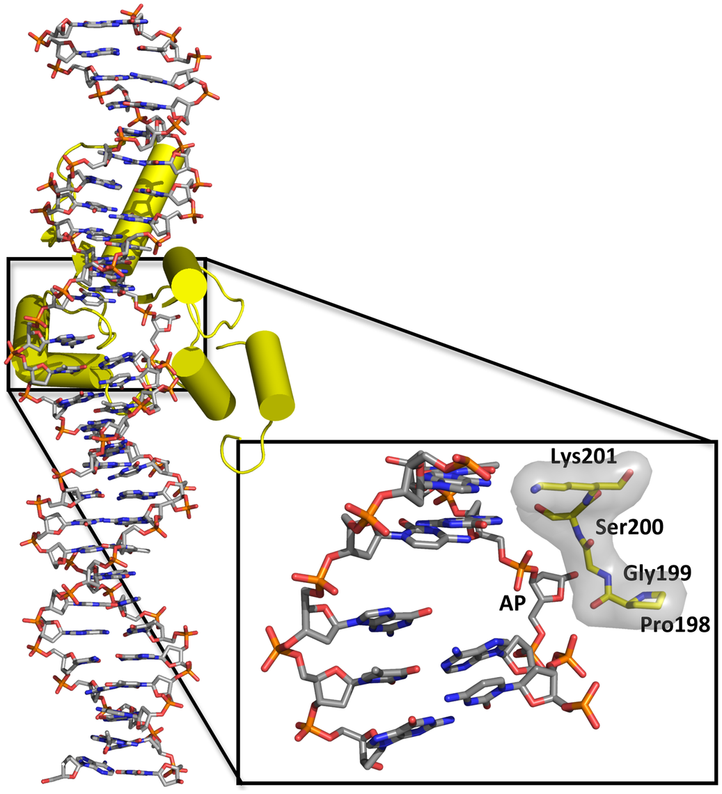 Overall structure of the complex of human TDG with DNA containing a G:5hmU mismatch (PDBID code 4FNC; <em class=&quot;ref&quot;>[9]</em>) and close-up of the resulting abasic site (AP) everted from the double helix.