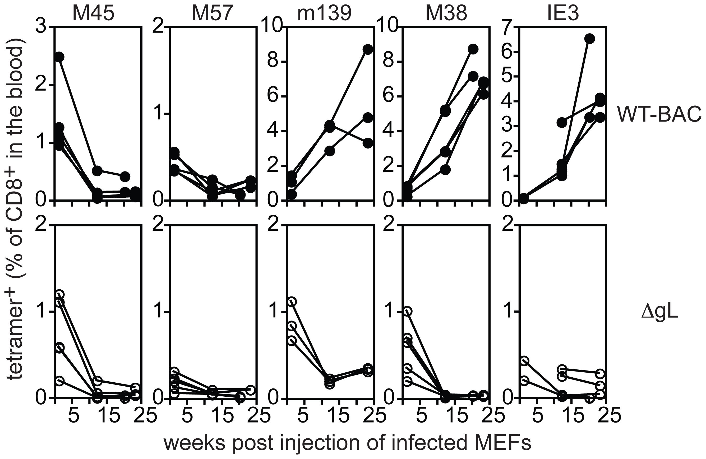 ΔgL MCMV must infect a cell population <i>in vivo</i>.
