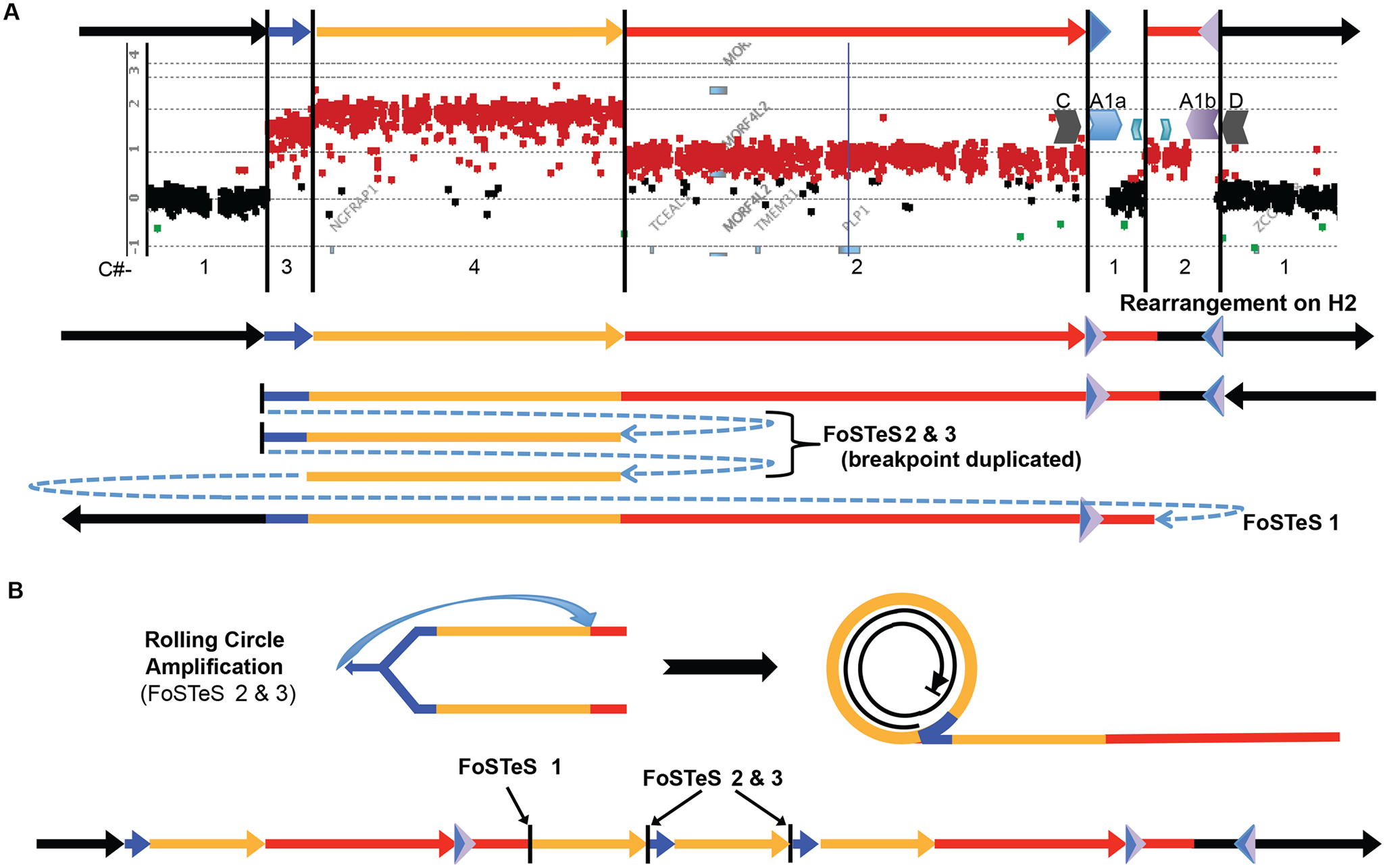 A quadruplication and potential rolling-circle mechanism of rearrangement.