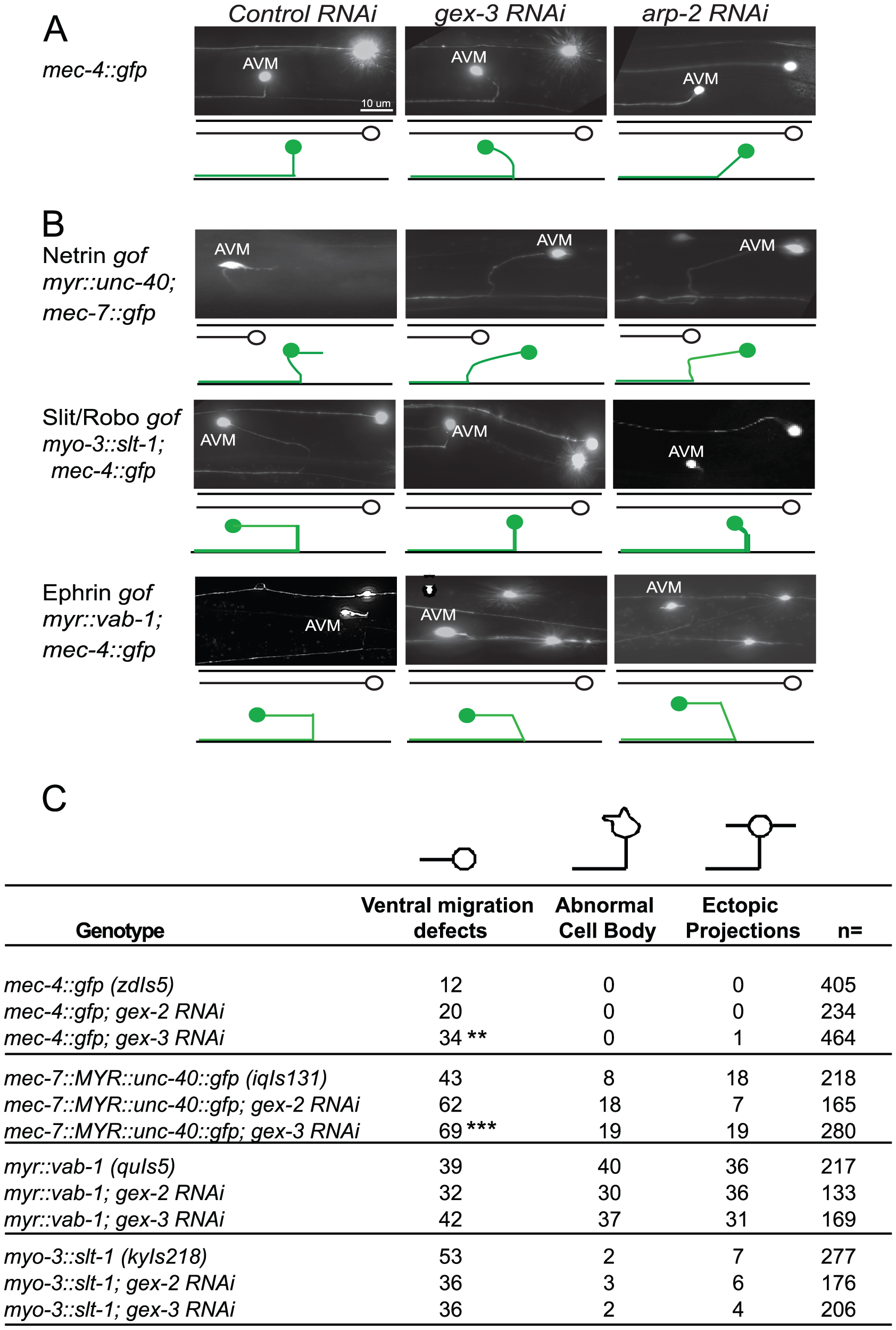 Post-embryonic genetic interactions of WAVE/SCAR genes and axonal guidance genes during neuronal migrations.