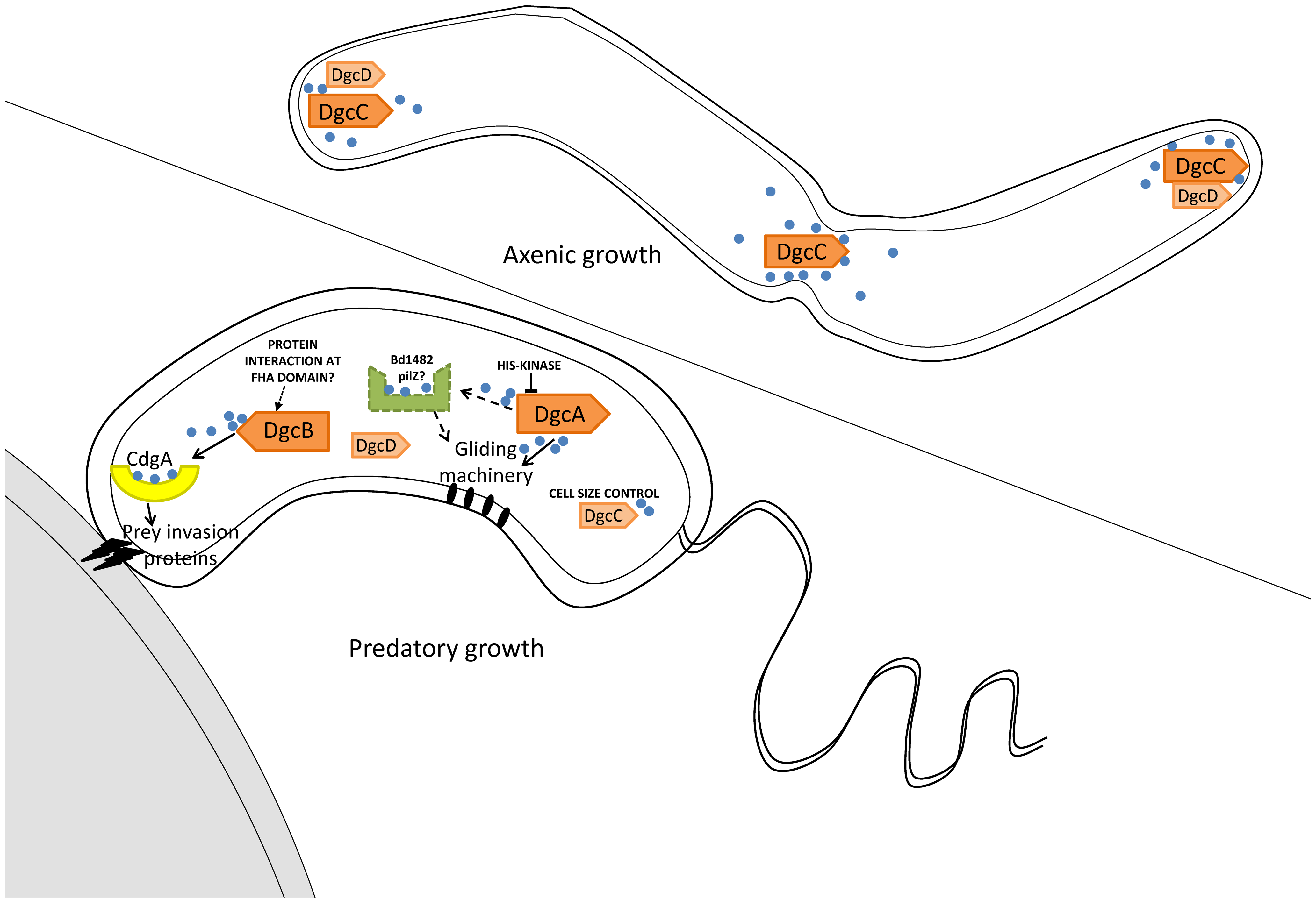 Summary of GGDEF domain protein activities in <i>B. bacteriovorus</i> HD100 lifestyles.