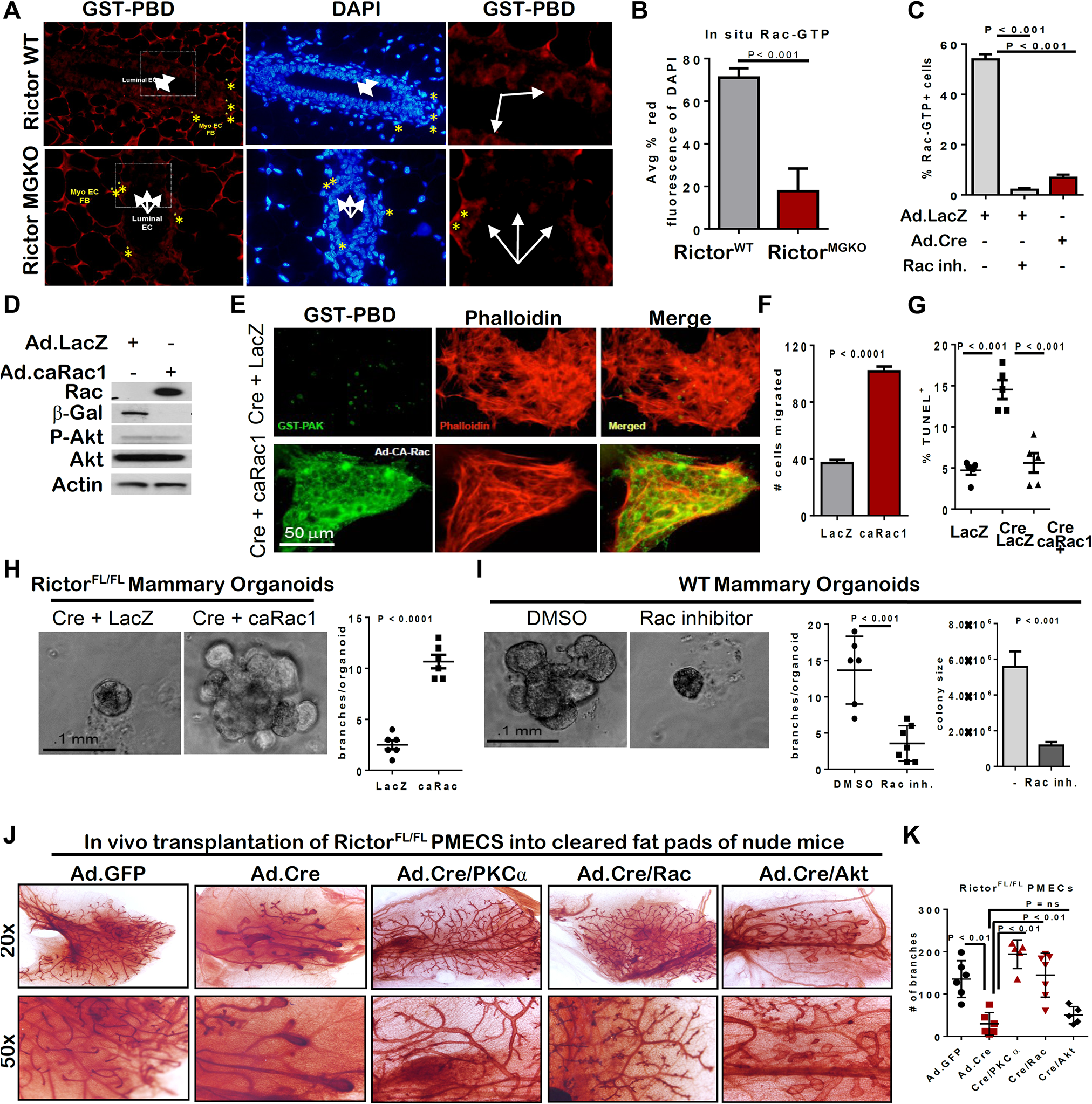 Rictor-mediated Rac activity is necessary and sufficient for mammary branching morphogenesis <i>ex vivo.</i>