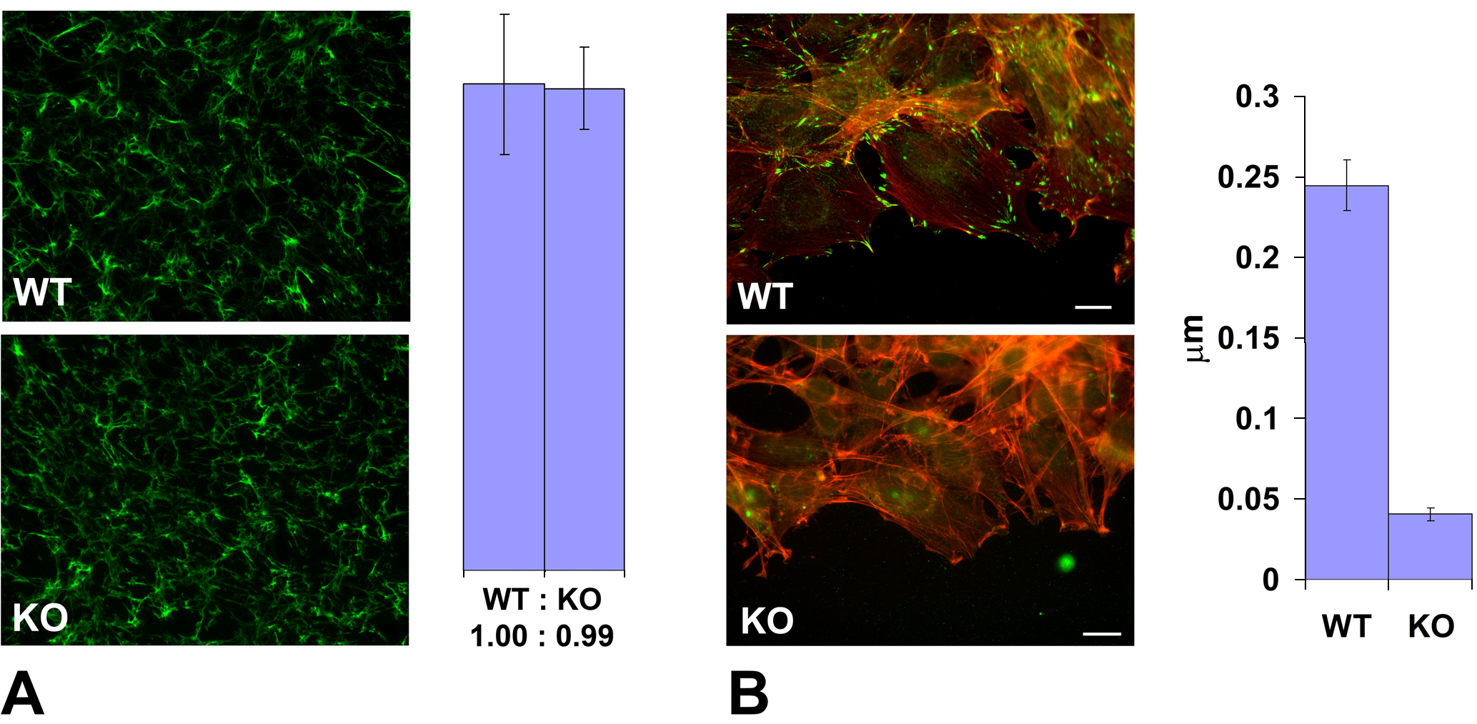 <i>Ate1</i> knockout affects cell attachment to the substrate via intracellular and not extracellular mechanisms.