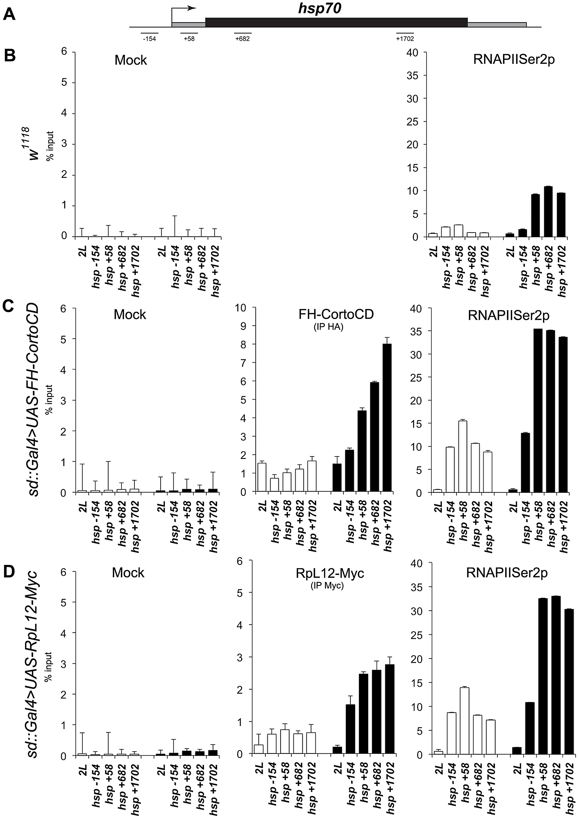 Occupancy of the <i>hsp70</i> gene by CortoCD and RPL12 is enhanced upon heat shock.