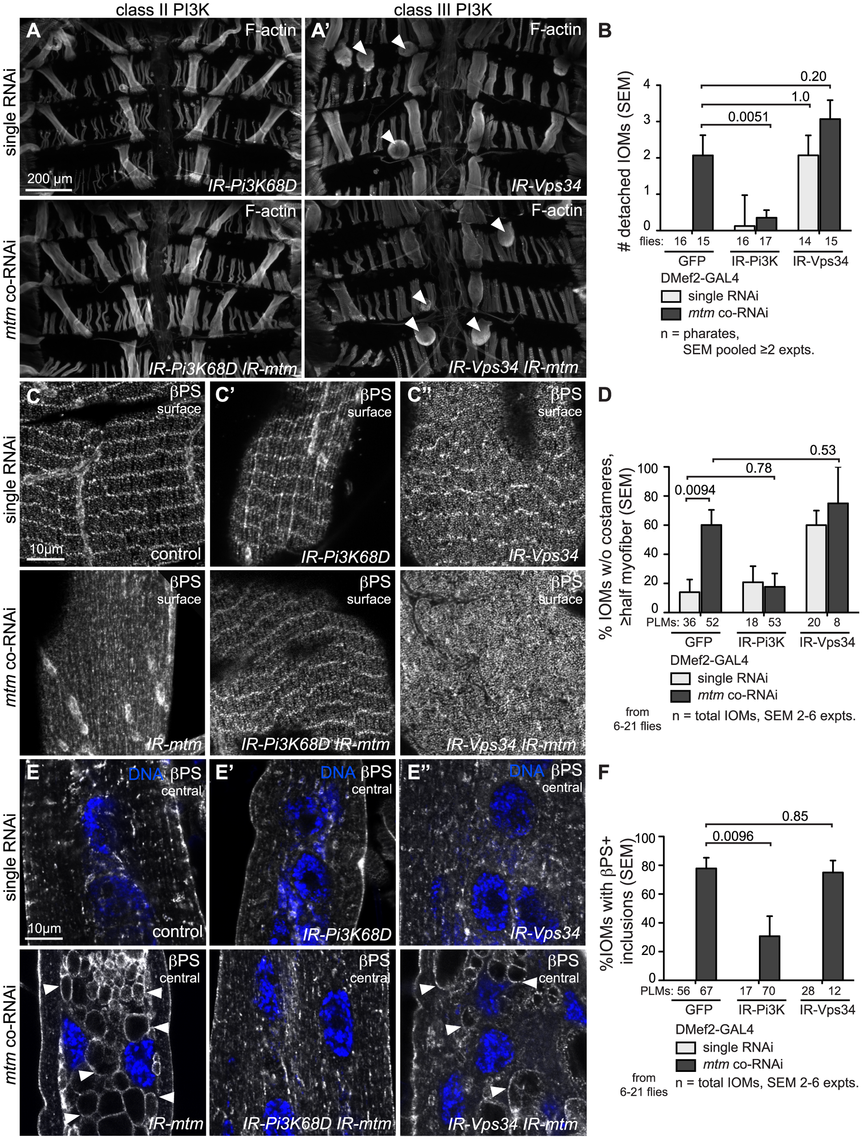 Class II and Class III PI3-kinases affect <i>mtm</i>-dependent integrin adhesions differently.