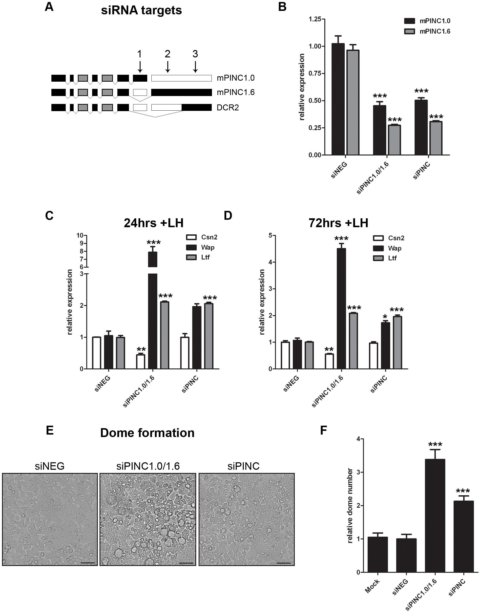 Knockdown of <i>mPINC</i> enhances differentiation of HC11 cells.